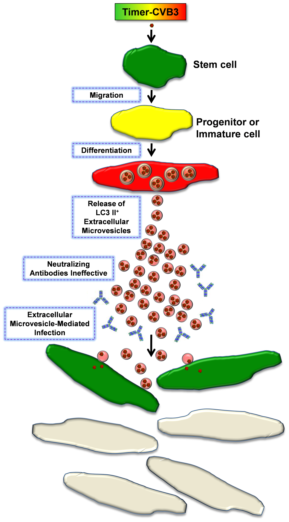 Model of Timer-CVB3 dissemination by EMVs triggered following stem cell migration and differentiation.