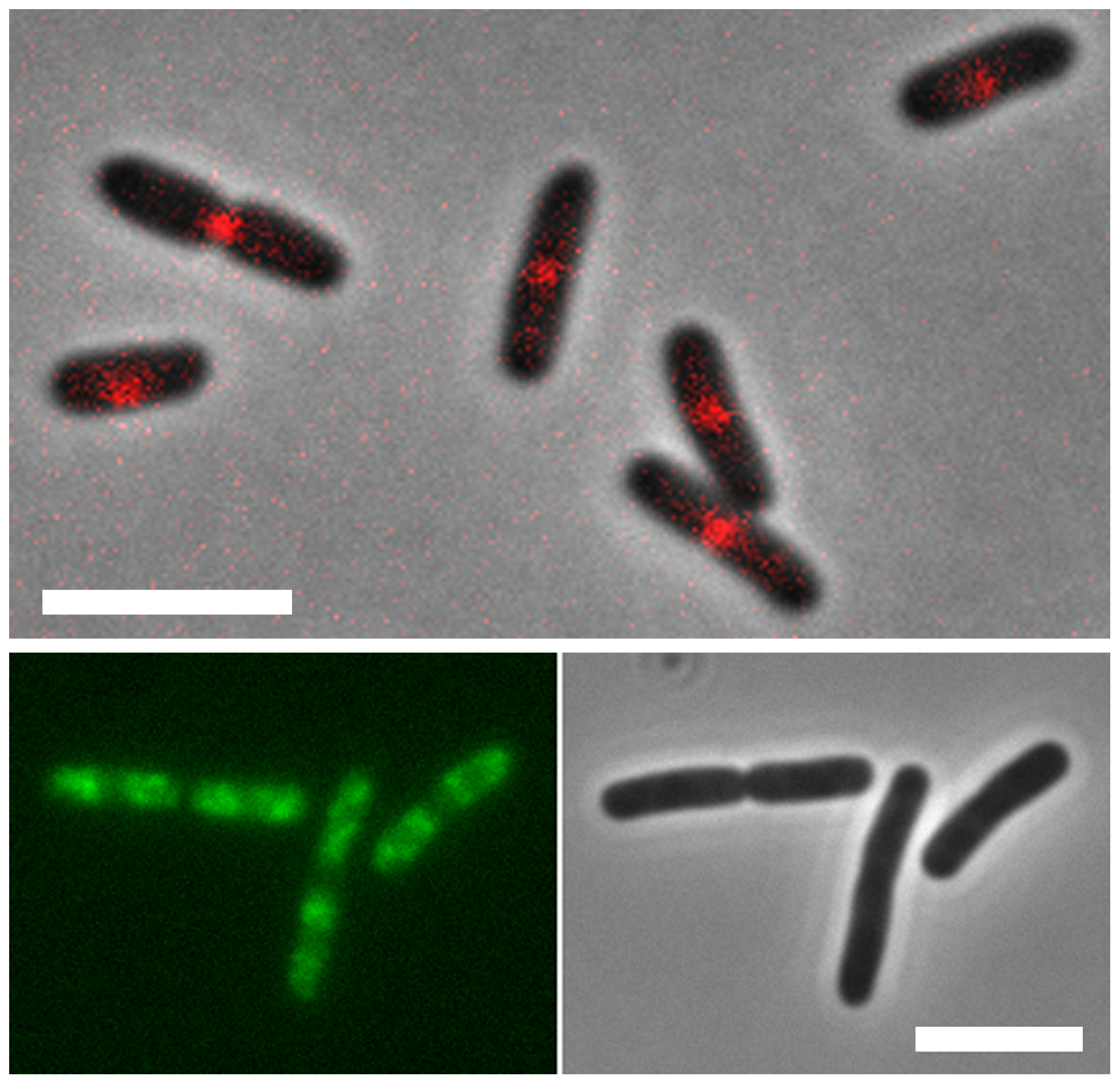 Localization of MatP and SlmA on the <i>E. coli</i> chromosome.