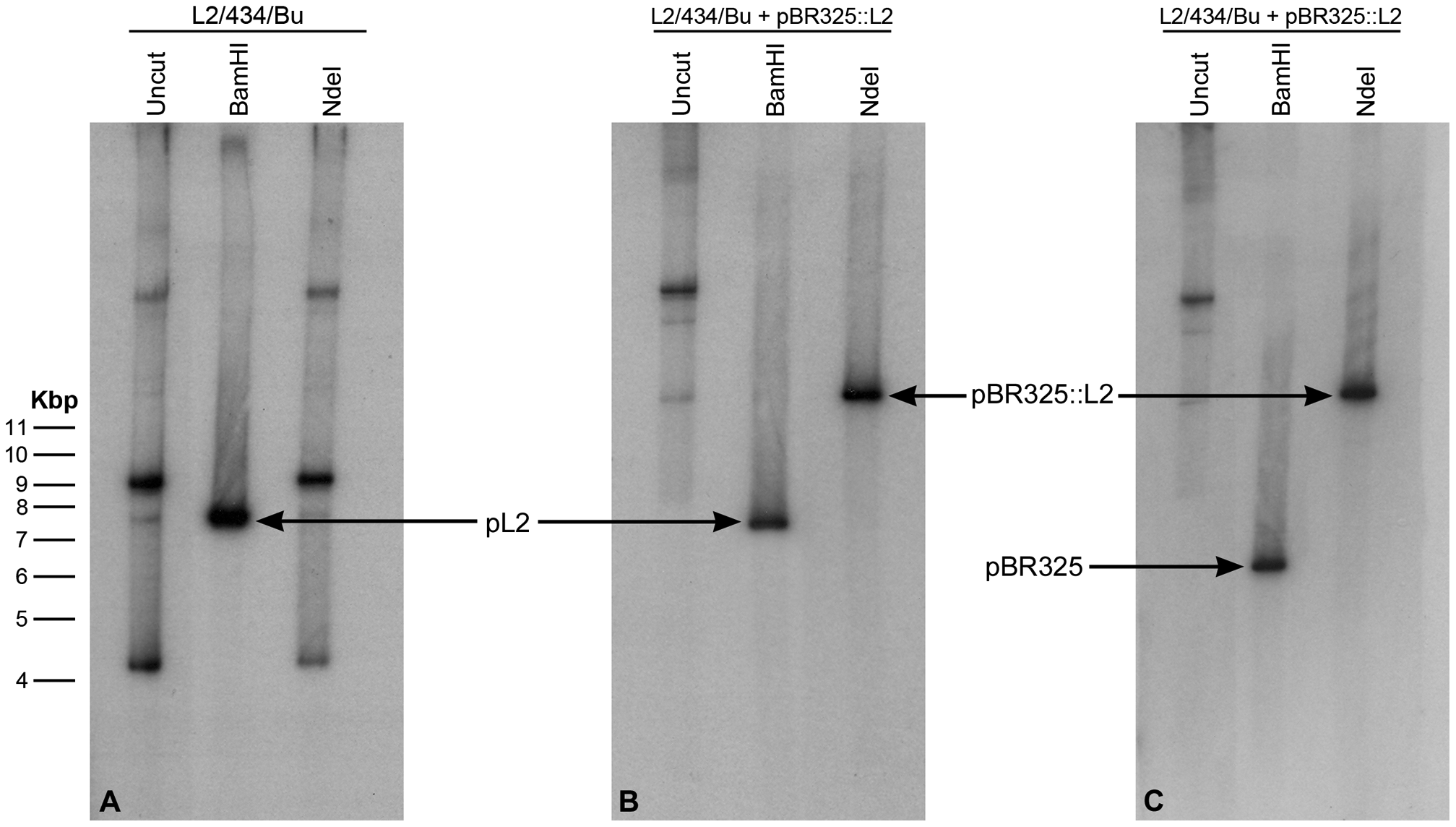 Southern blot of <i>C. trachomatis</i> L2/434/Bu transformed by plasmid pBR325::L2.