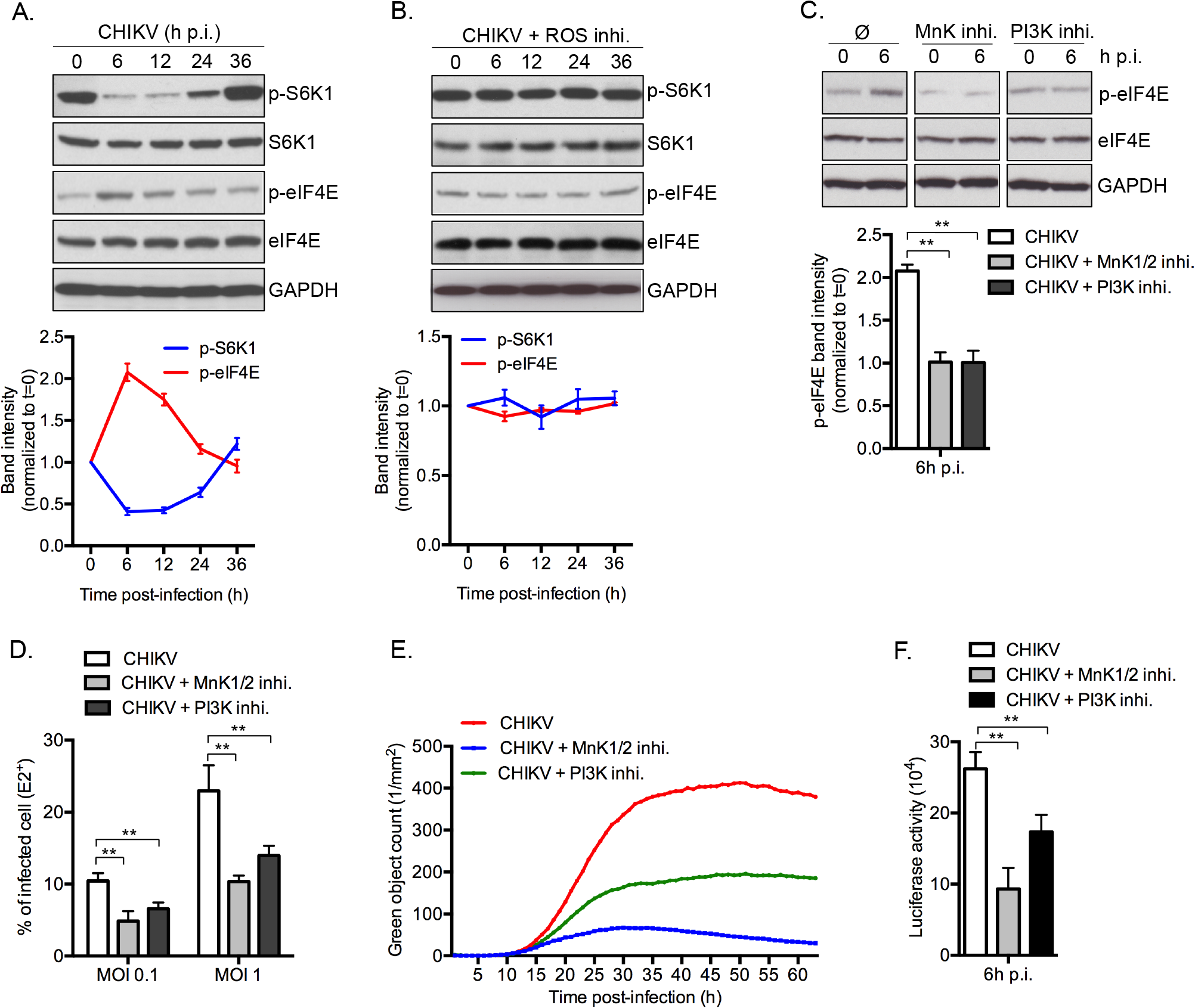 CHIKV-induced mTORC1 inhibition favors infection through the MnK/p-eIF4E pathway.