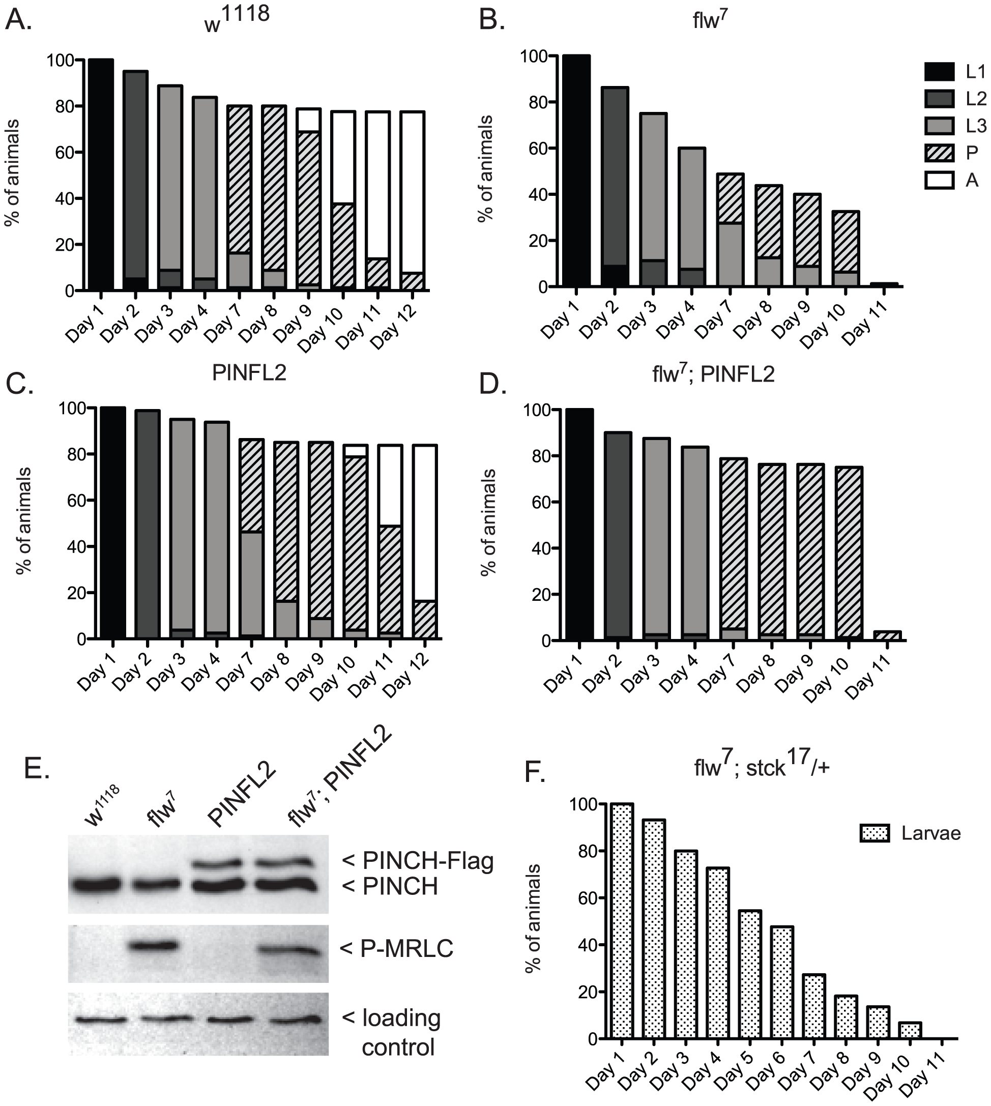 Expression of PINCH-Flag fully rescues the larval lethality of the <i>flw<sup>7</sup></i> mutant independently of MRLC/Sqh dephosphorylation.