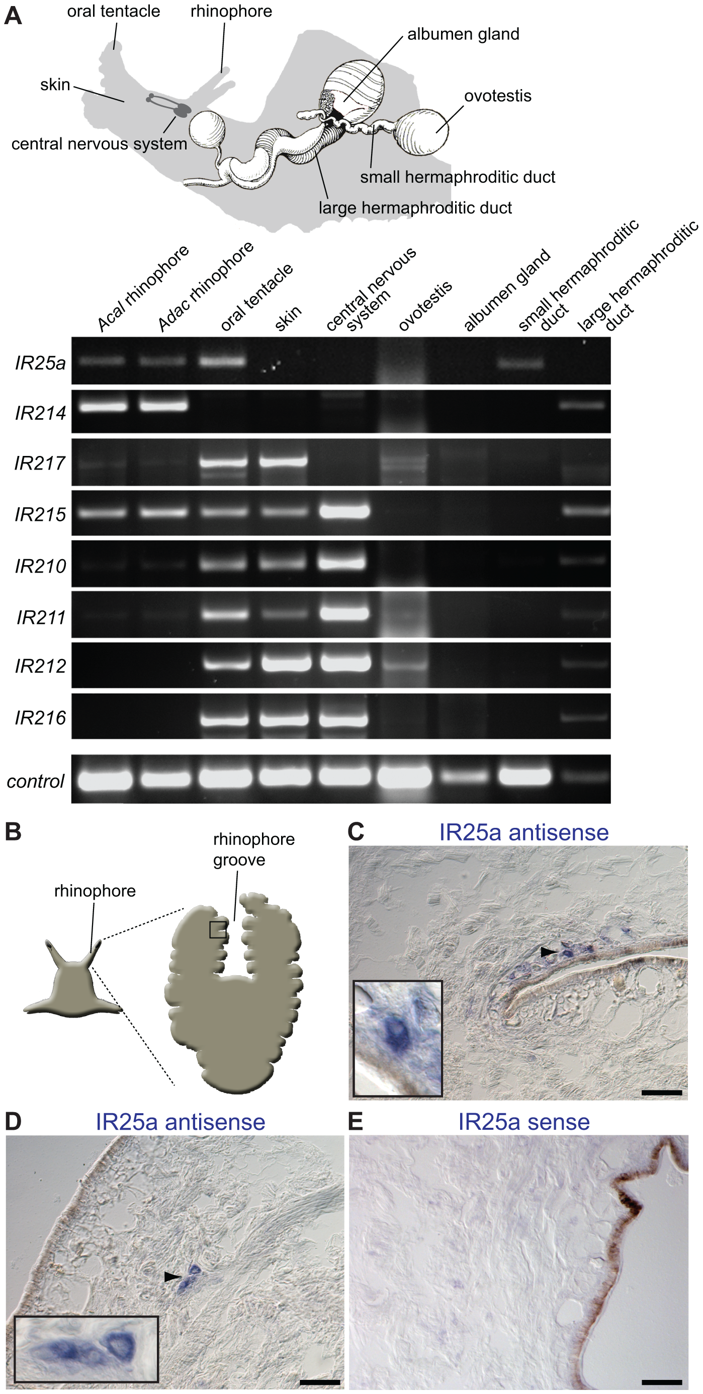 Olfactory expression of IRs in <i>Aplysia</i> molluscs.