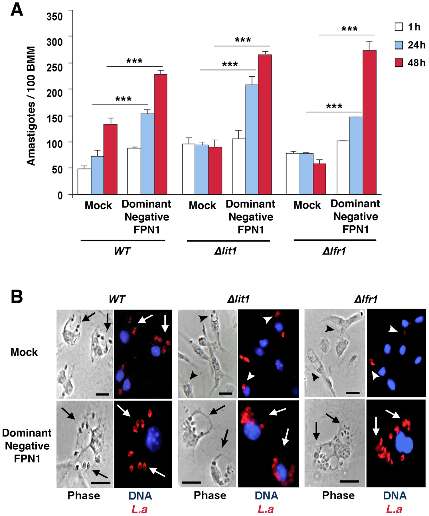 The intracellular growth of <i>L. amazonensis</i> mutants defective in iron uptake is rescued by dominant-negative Fpn1.