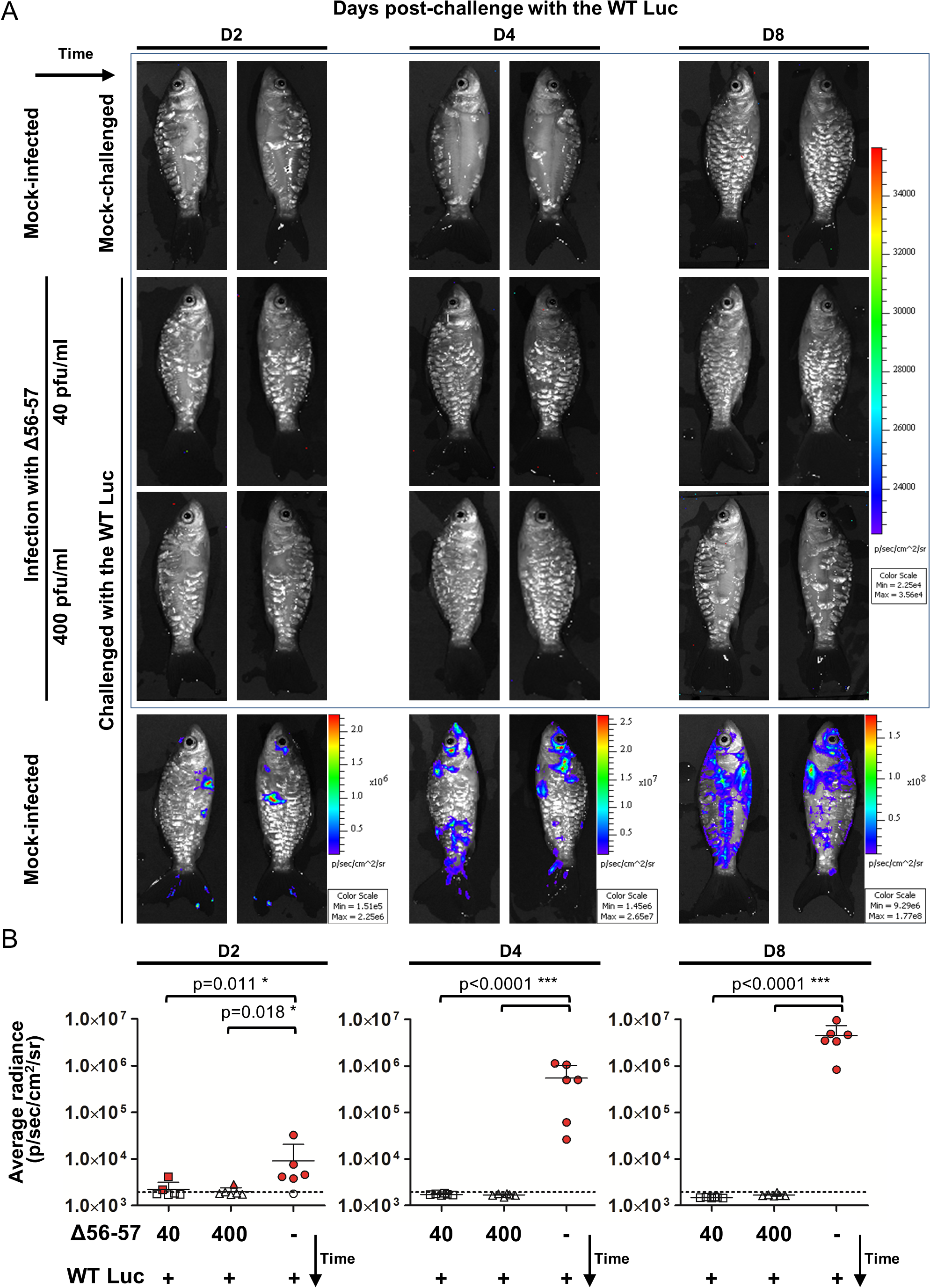 Immune protection conferred by the Δ56-57 strain revealed by the IVIS.