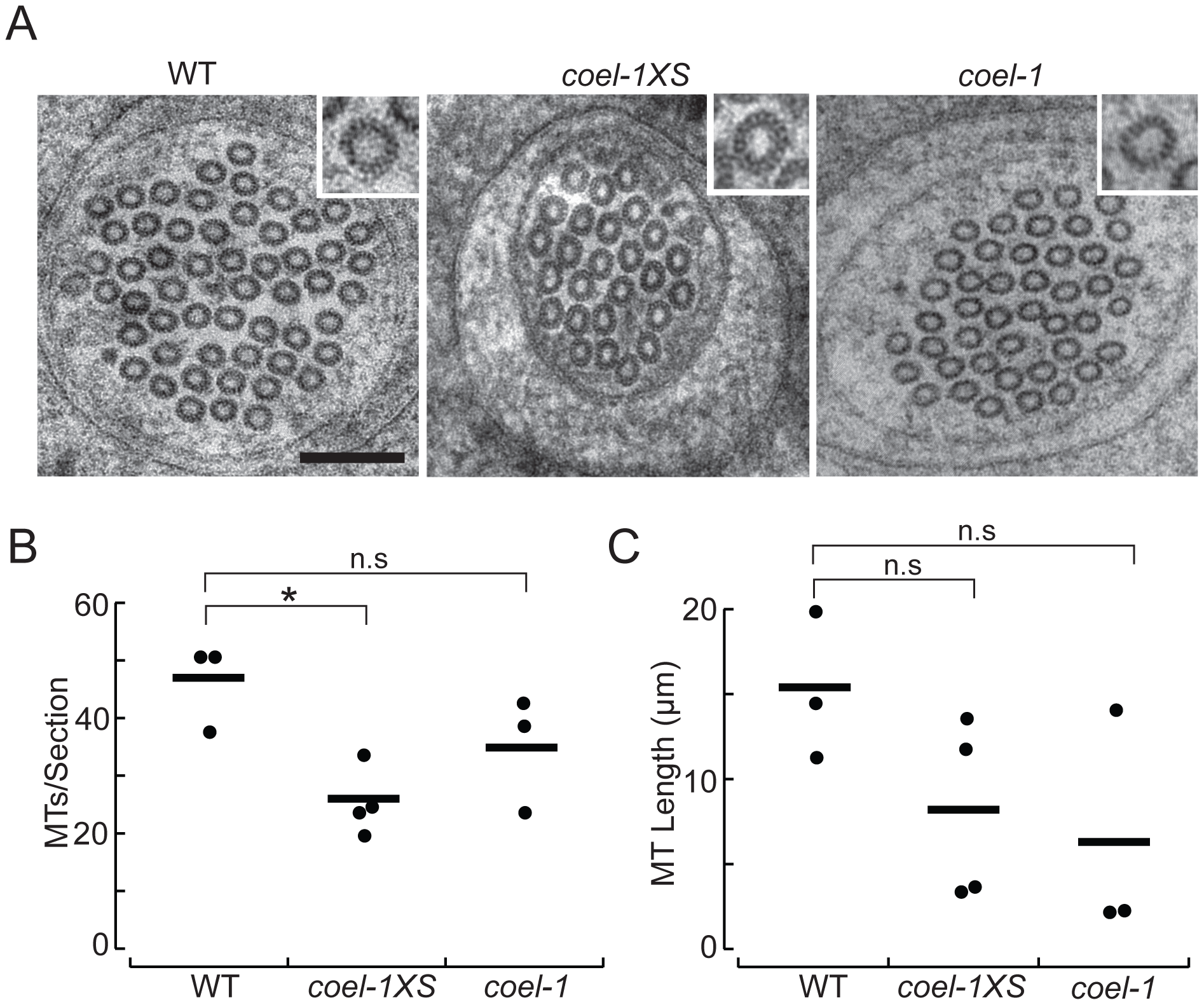 <i>coel-1</i> activity influences microtubule number and length, but not protofilament count in PLM touch receptor neurons.