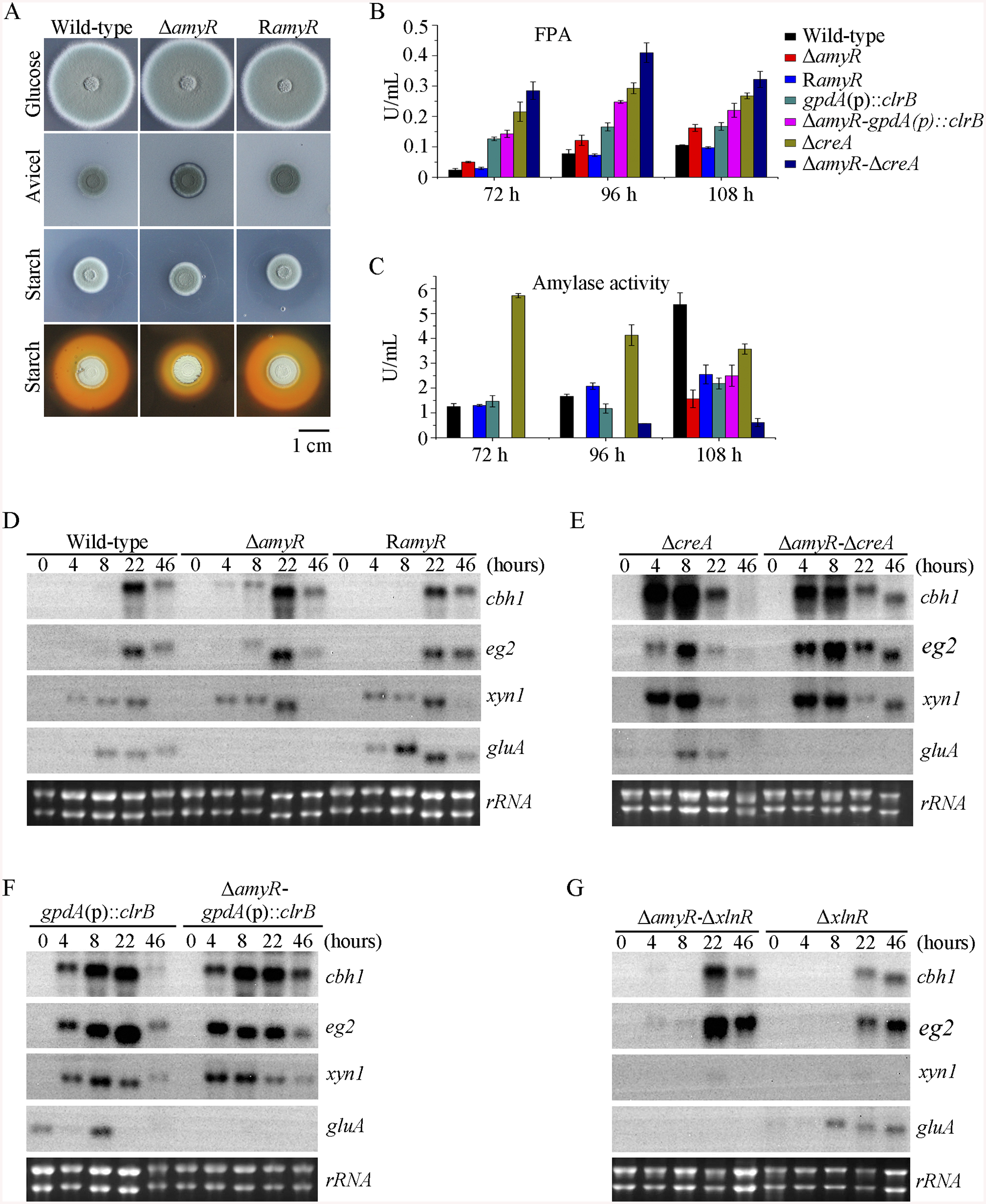 Lack of AmyR decreased amylase activity and increased cellulase expression on cellulose.