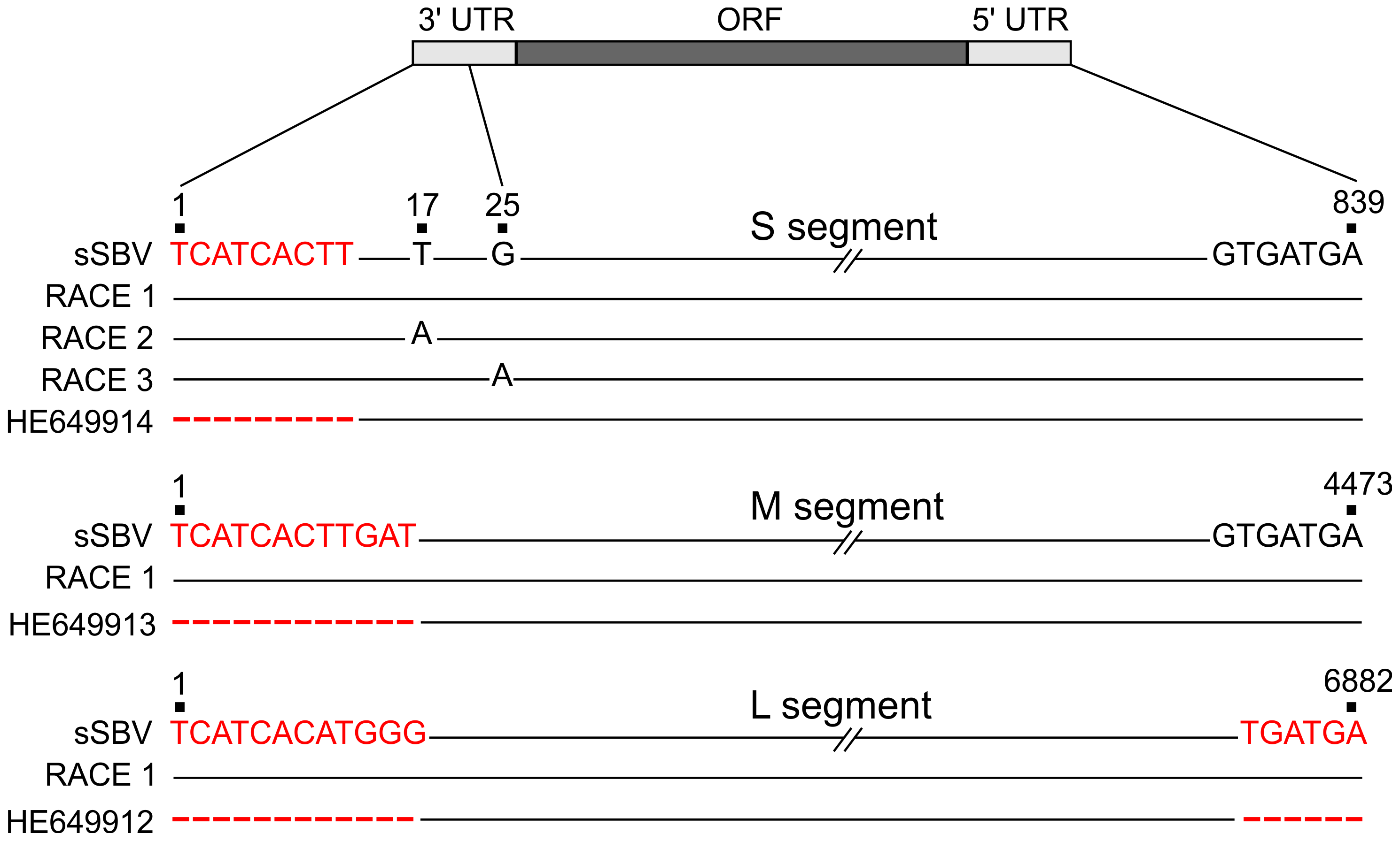 Sequences of 3′ and 5′ UTRs of SBV obtained by RACE PCR.