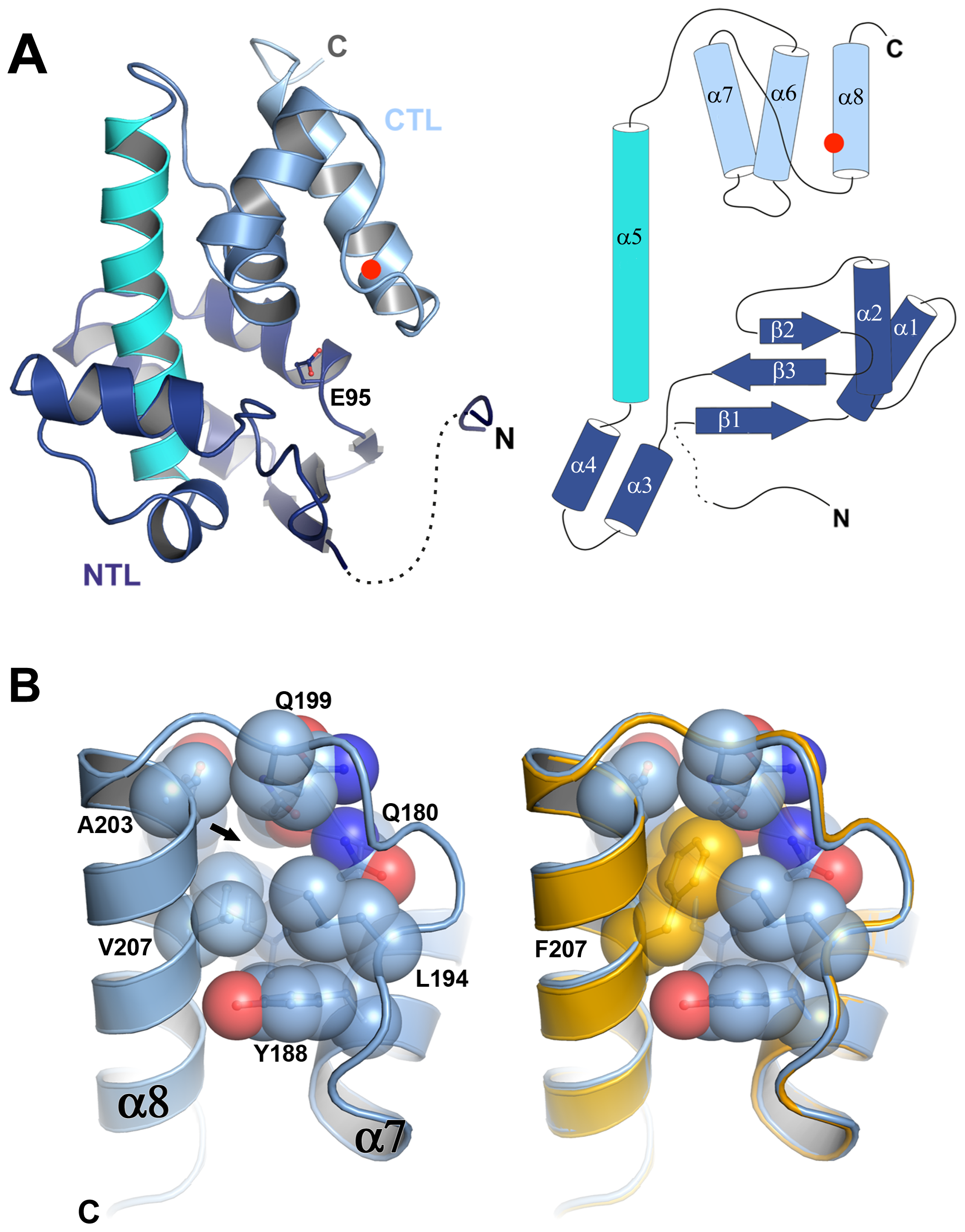 P5 adopts a lysozyme fold and the V207F mutation fills a cavity.