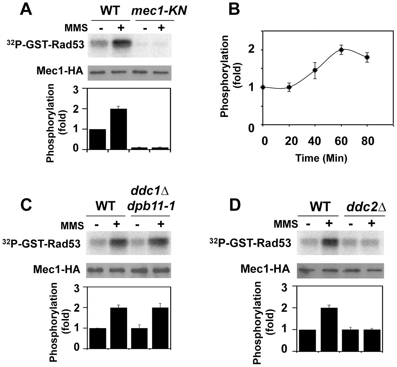 Regulation of protein kinase Mec1 after DNA damage.