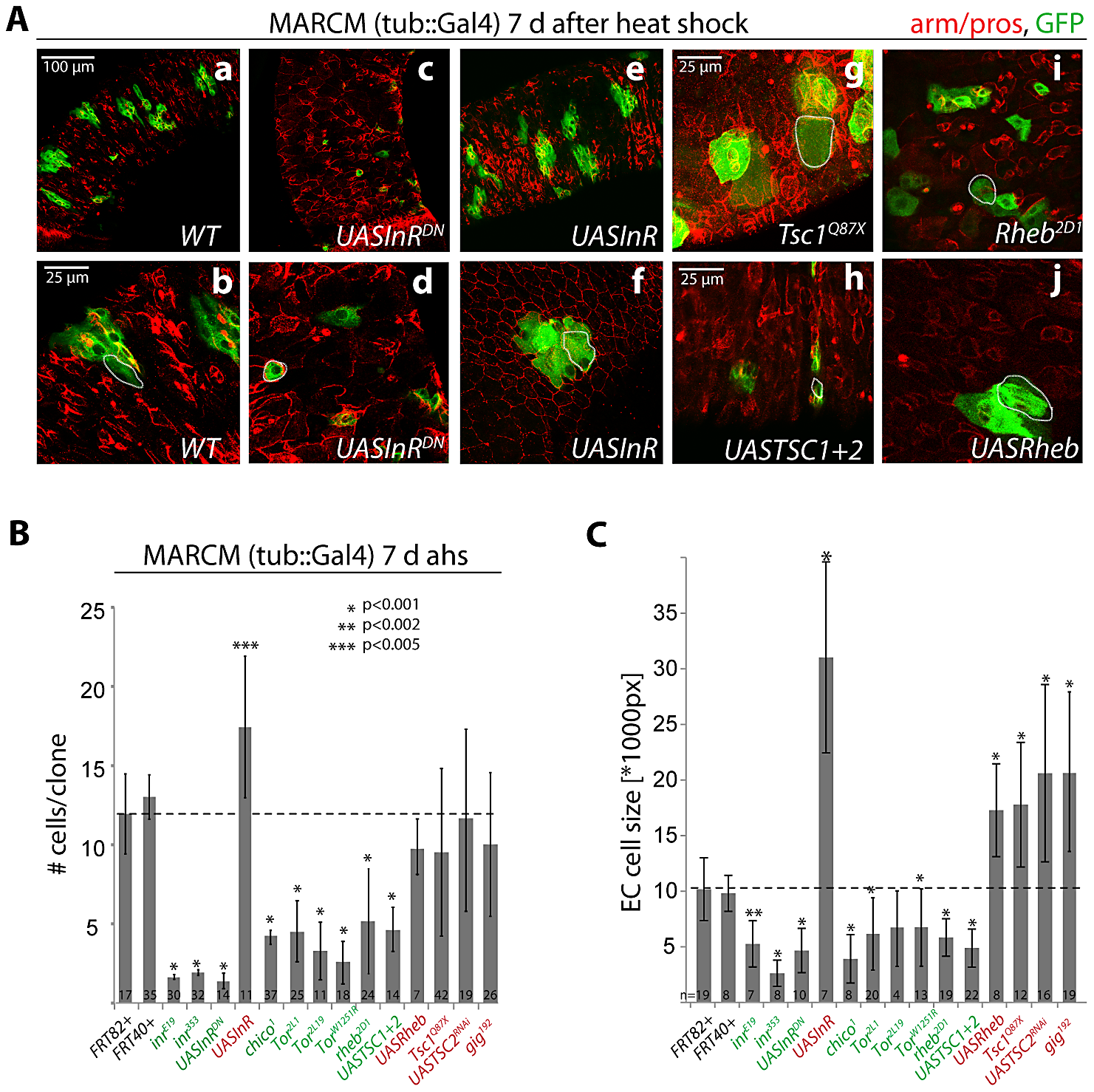 Regulation of proliferation and growth in the ISC lineage by the InR/TOR pathway.