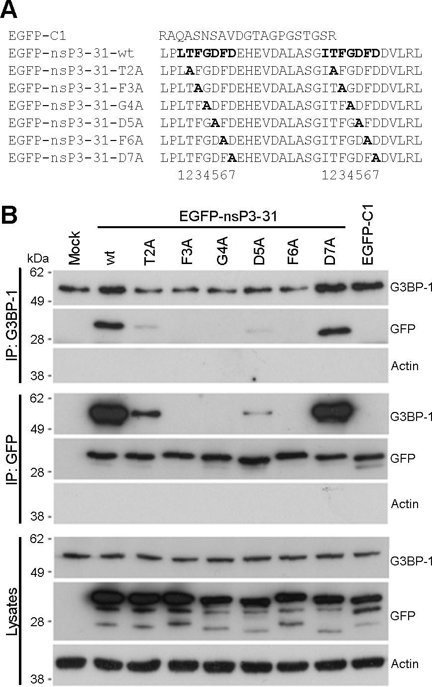 Mutagenesis of the G3BP-binding domain in SFV-nsP3 reveals a core binding motif of FGDF.