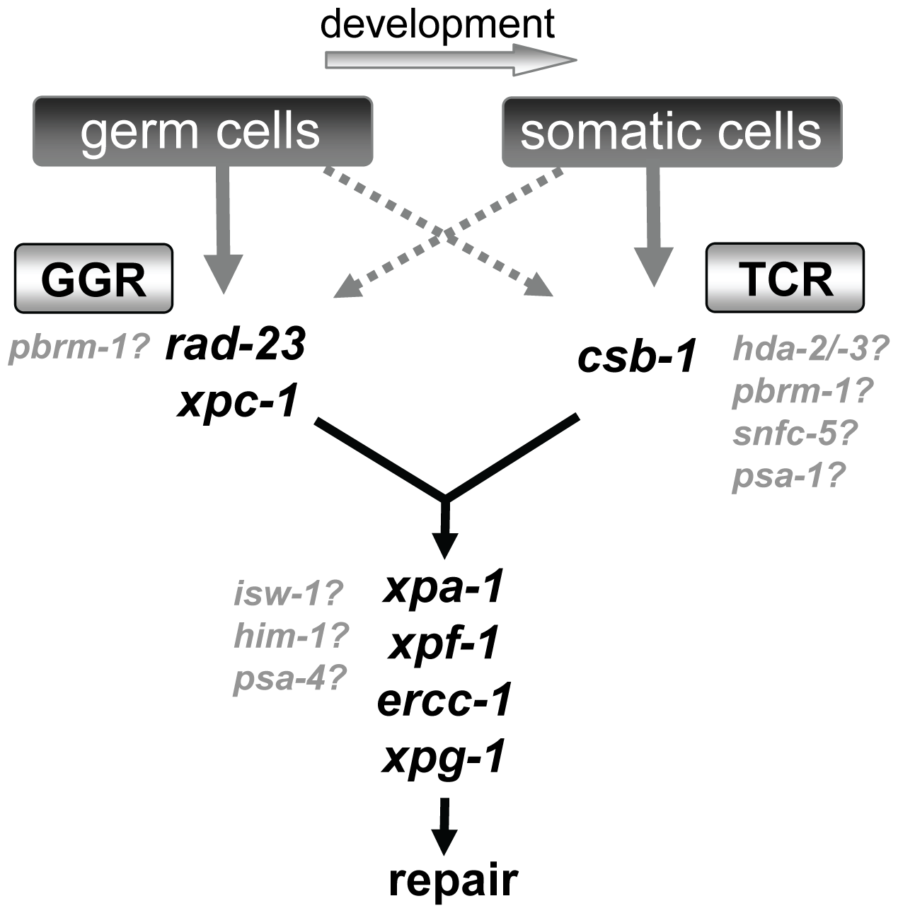 Model of NER function in germ cells and somatic cells.