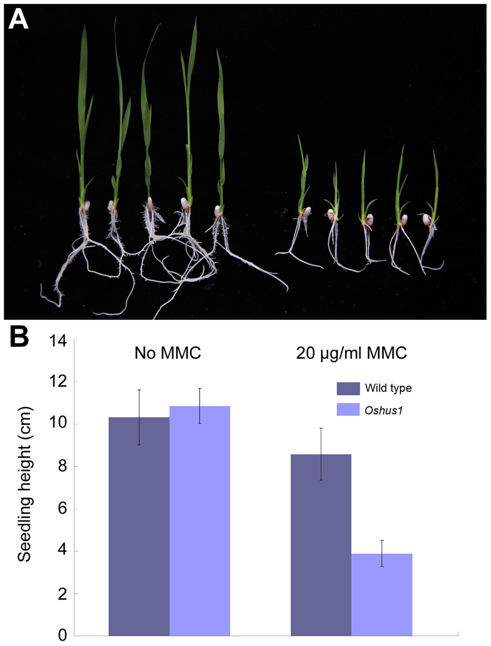 <i>Oshus1-1</i> is hypersensitive to MMC.
