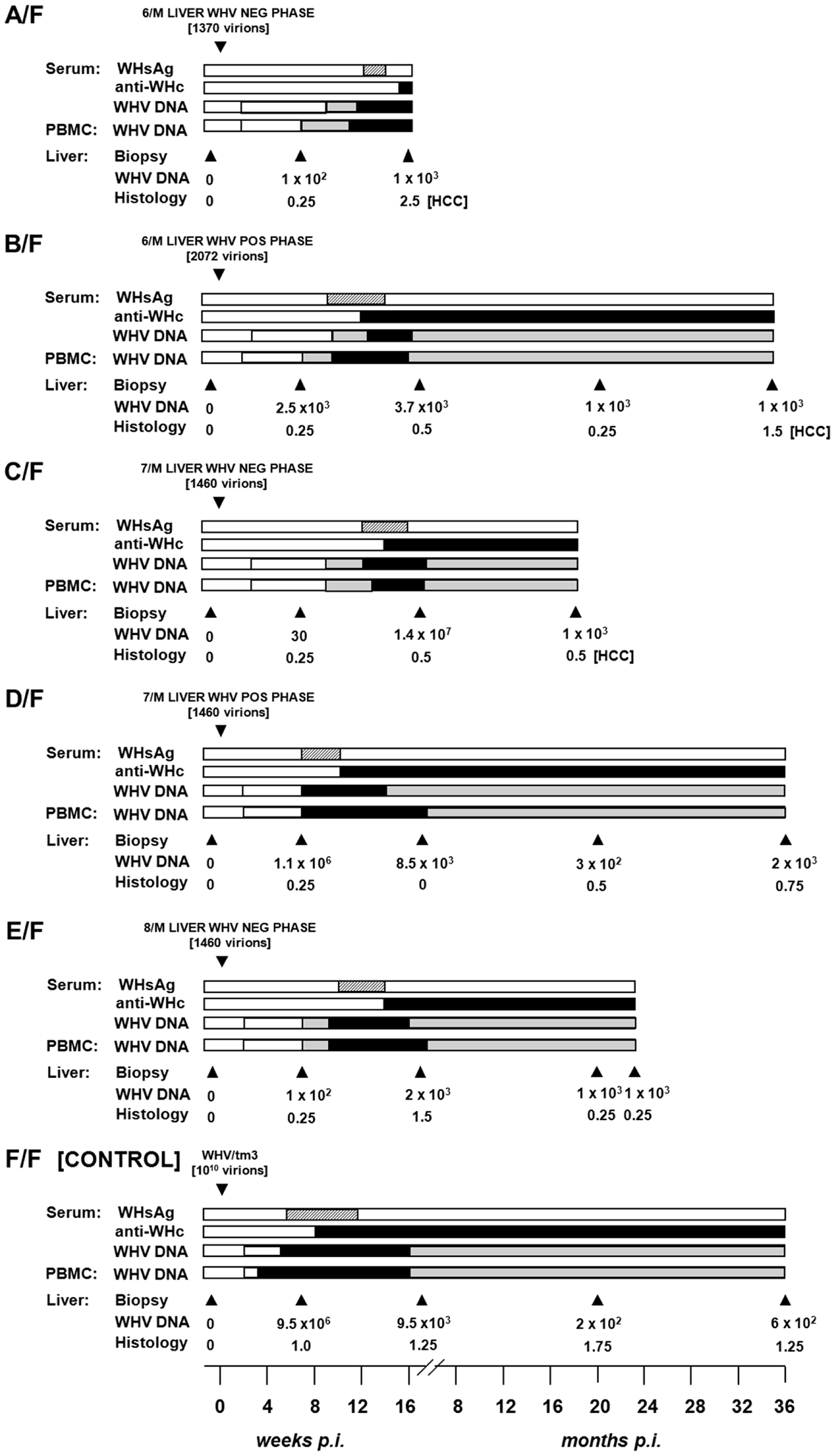 Serological profiles of WHV infection, detection of WHV DNA in sequential serum, PBMC and liver tissue samples, histological degree of hepatitis, and detection of HCC in initially healthy, WHV-naïve woodchucks inoculated with circulating WHV derived from the liver virus-negative and the liver virus-positive phases of POI.