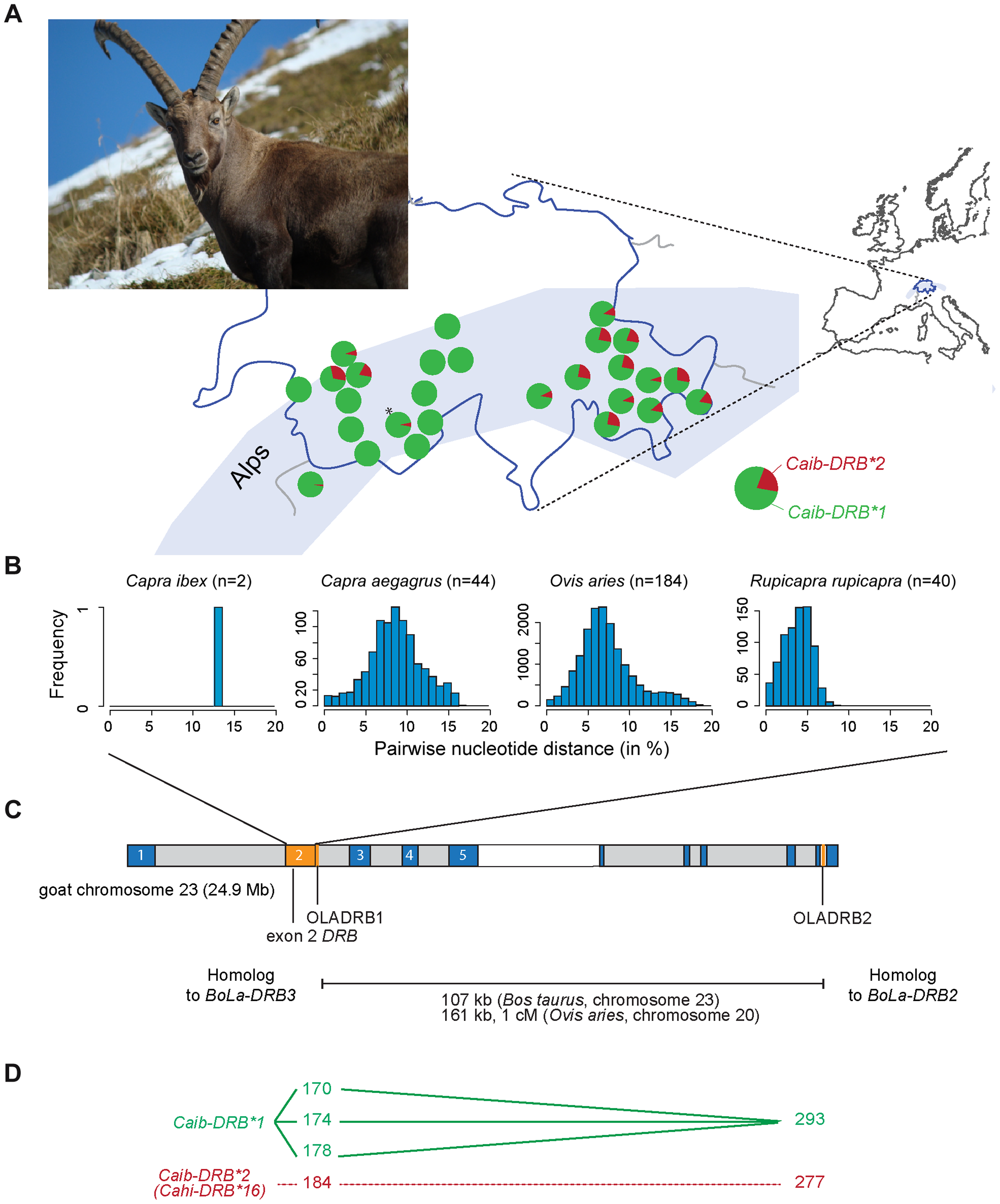 MHC <i>DRB</i> allele diversity in Alpine ibex and chromosomal localization of genetic markers.