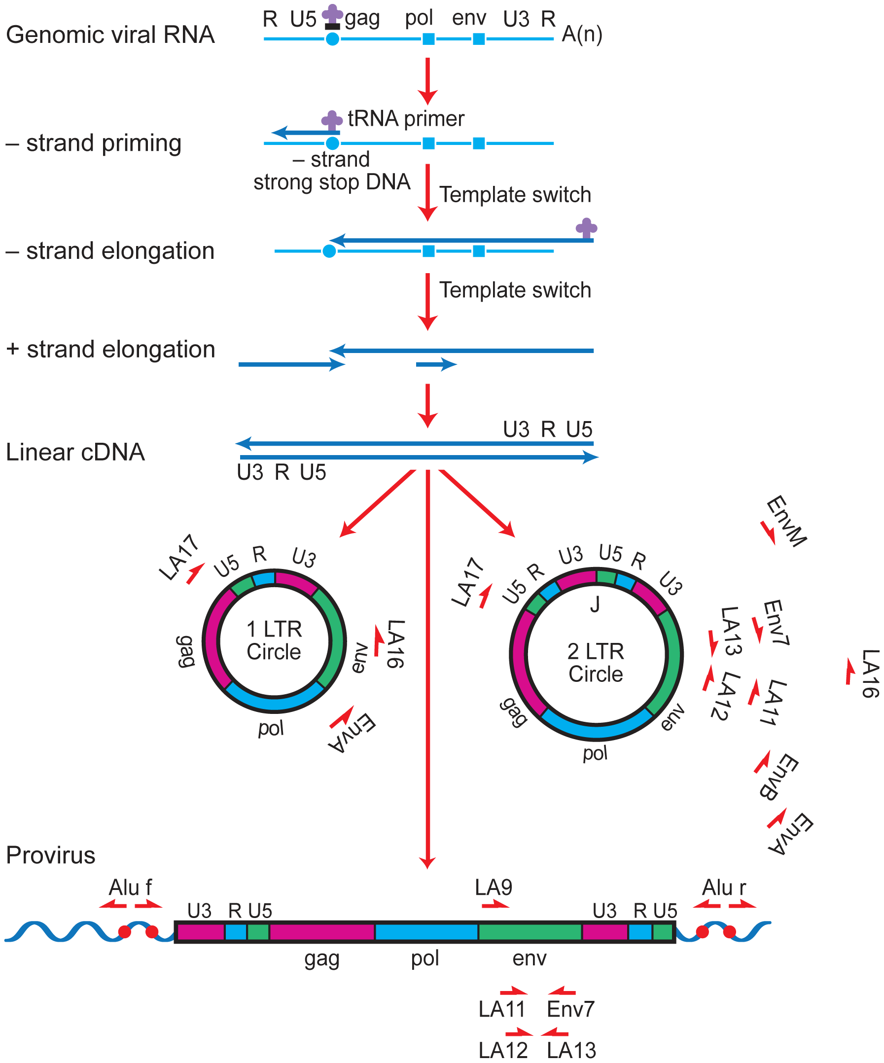 Strategy for long-range PCR amplification of episomal or proviral HIV-1 envelope sequences.