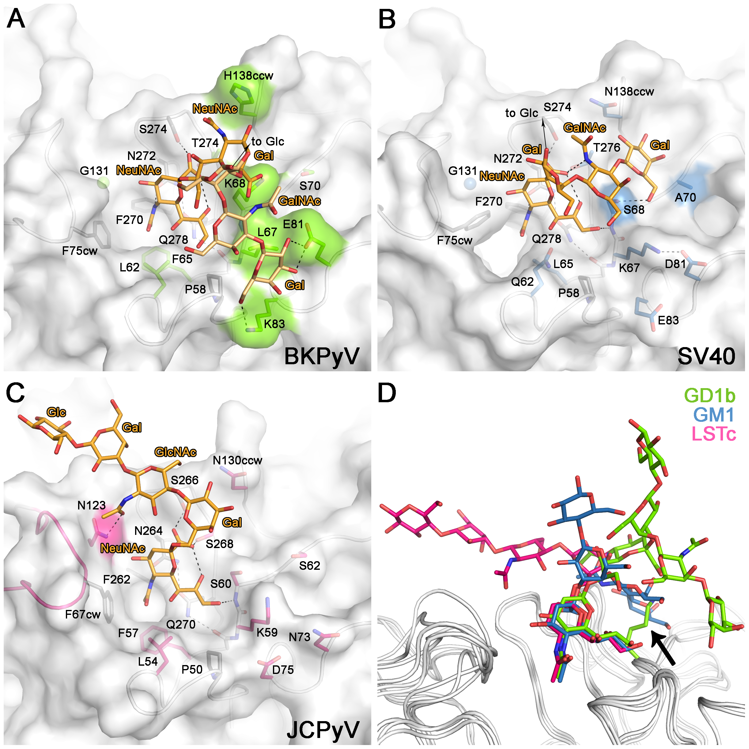 Carbohydrate binding sites of BKPyV, JCPyV and SV40.
