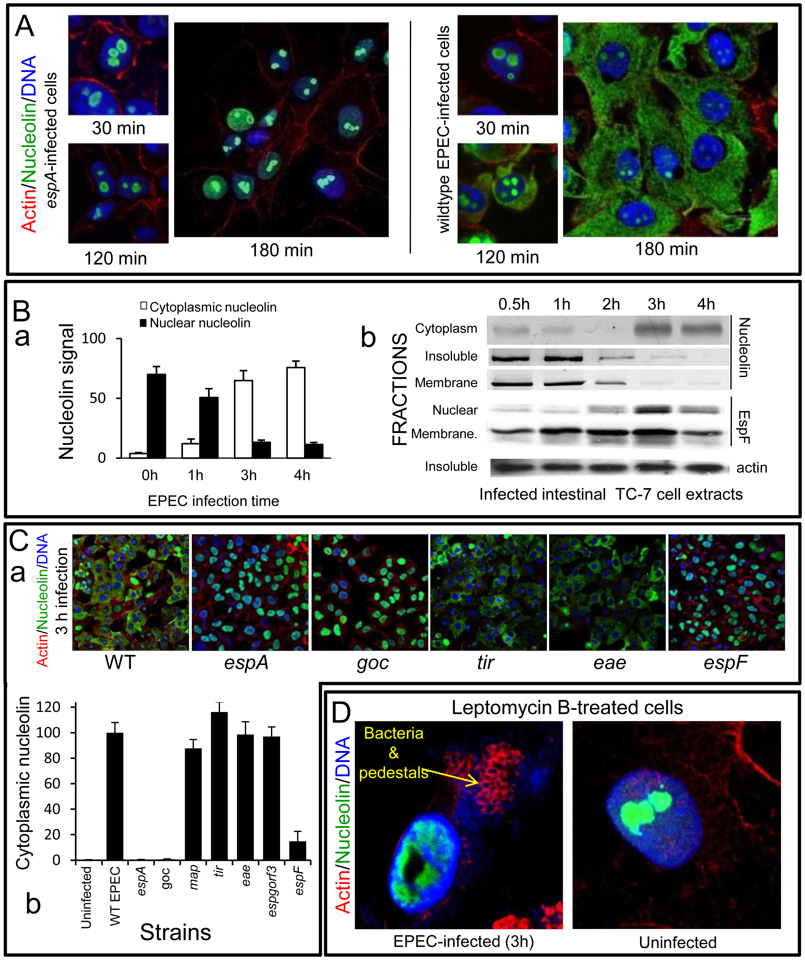 EPEC causes extensive redistribution of nucleolin dependent on EspF.