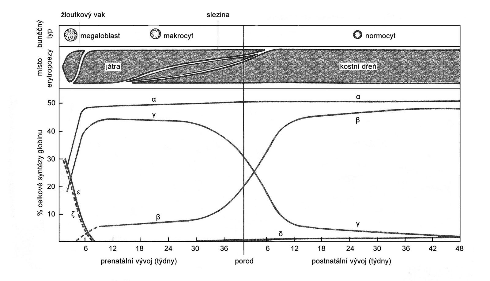 Místa krvetvorby a vývoj syntézy globinových řetězců v průběhu prenatální a postnatální ontogeneze. Převzato z: Neuwirt J, Nečas E, Kornalík F, Šulc K. Patofyziologie krve. Praha: Avicenum, 1983.