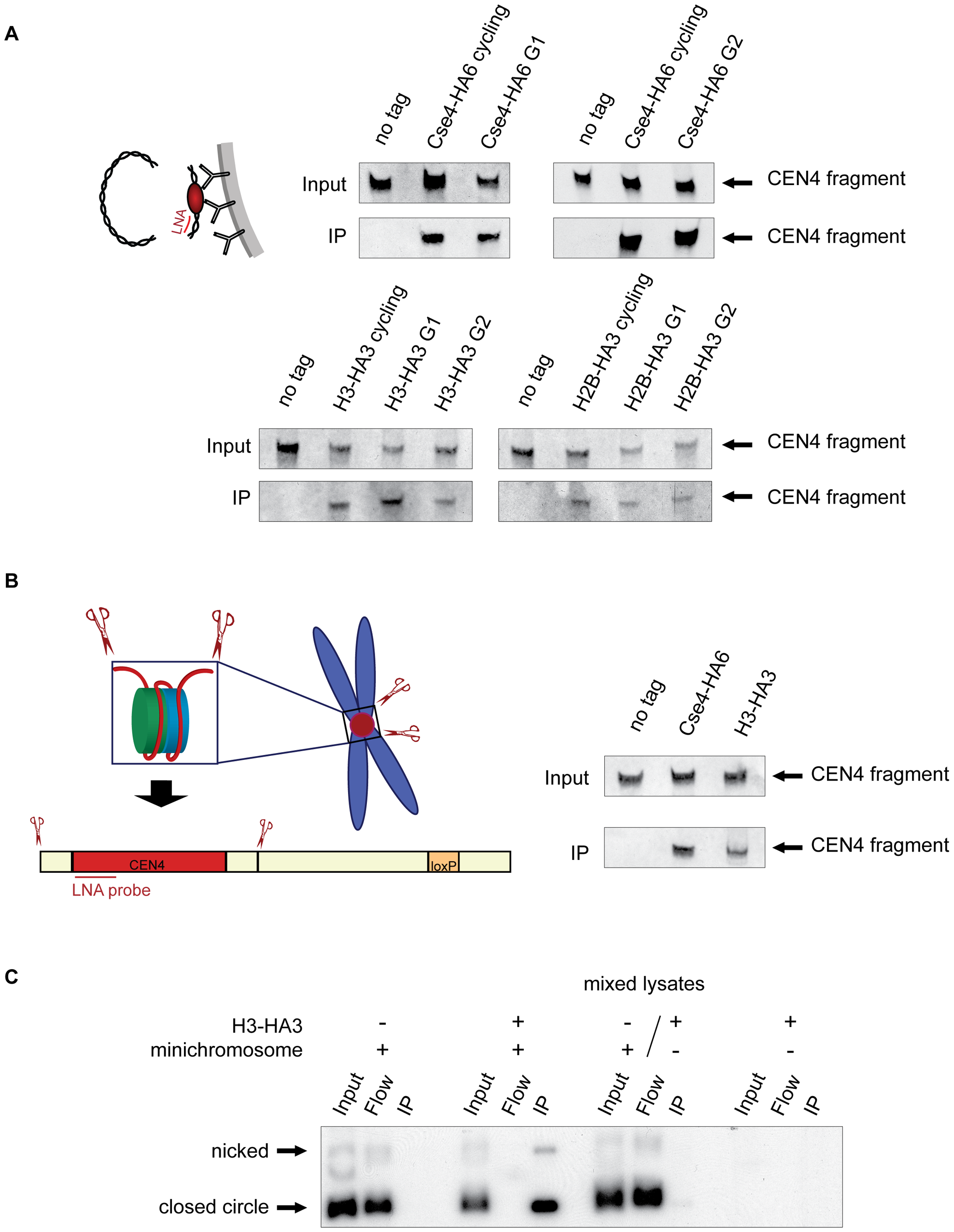 Histone H3 localizes to the centromeric DNA.