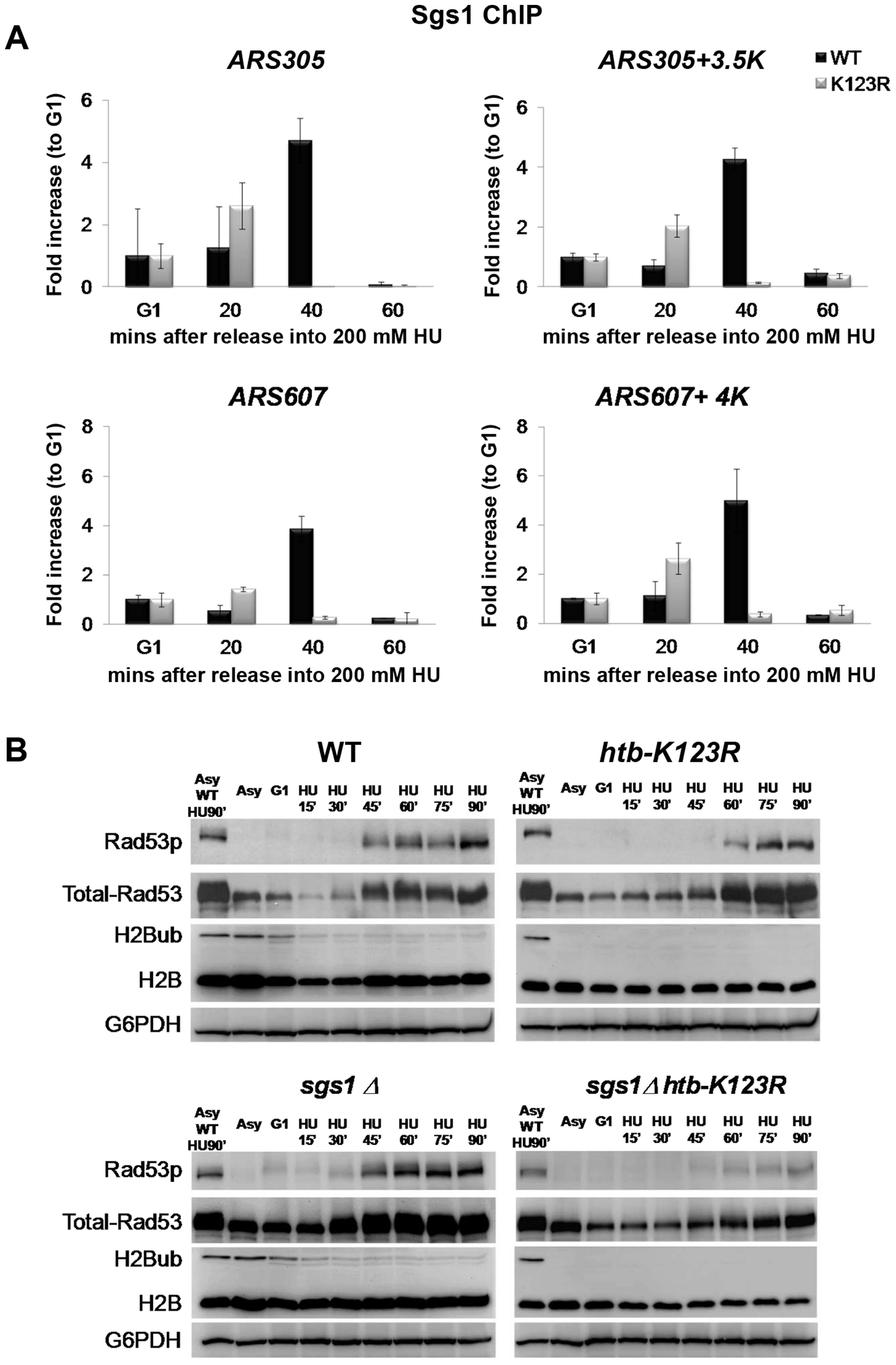 H2Bub and Sgs1 play interdependent roles in Rad53 phosphorylation.
