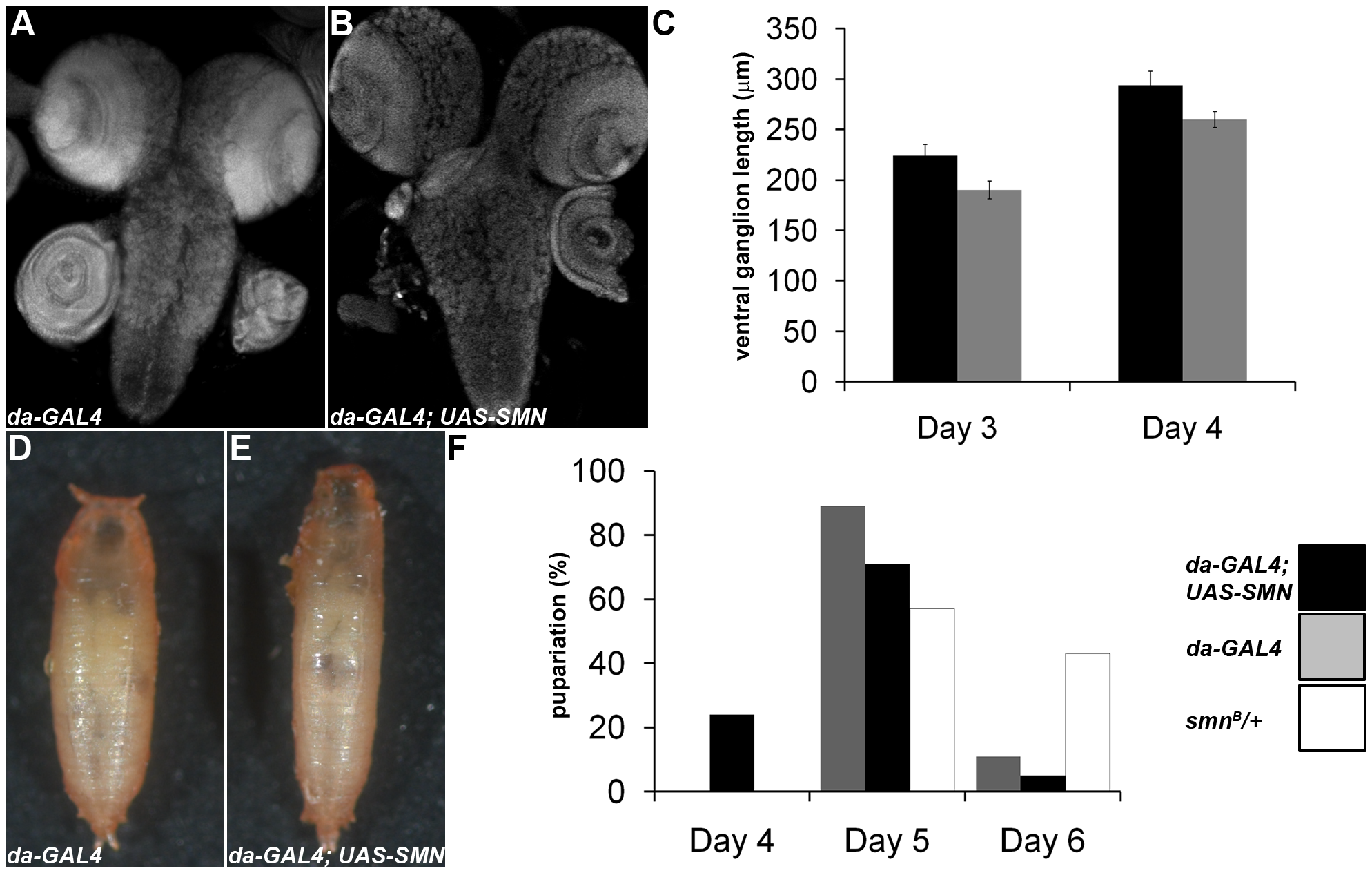 SMN overexpression accelerates CNS development and pupation entry.