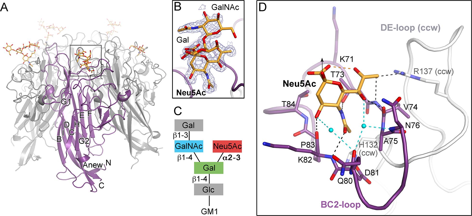TSPyV VP1 specifically binds to terminal Neu5Ac.