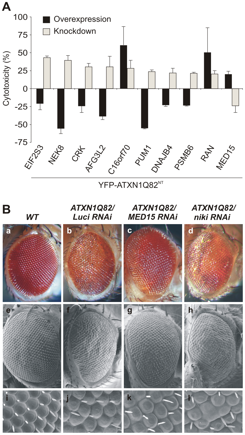Reduced levels of modifier proteins influence the cytotoxicity of pathogenic ATXN1 in model systems.