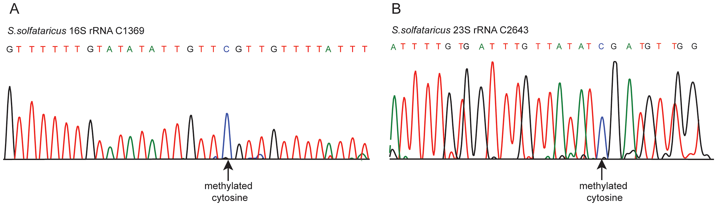 Sanger-based verification of two novel methylated positions in <i>S. solfataricus</i> rRNA identified using RNA-seq.