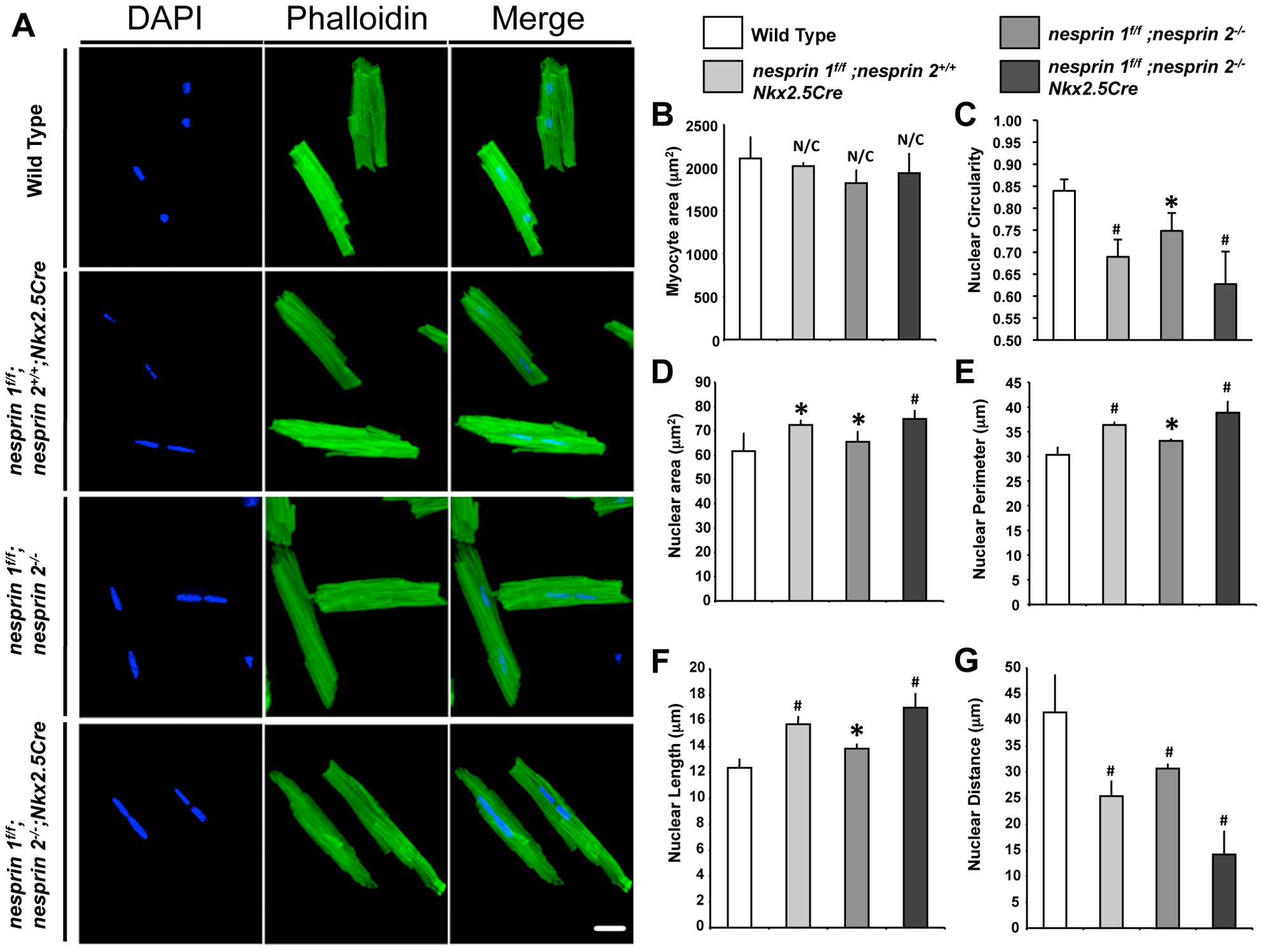 Cardiomyocyte nuclear morphology is altered in response to loss of Nesprin 1 and/or 2.