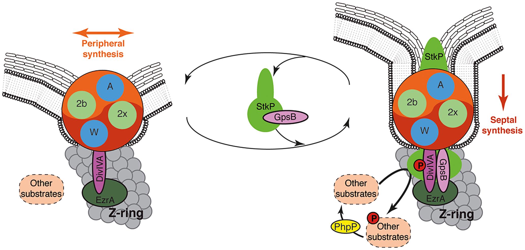 Models for PG synthesis in <i>S. pneumoniae</i>.