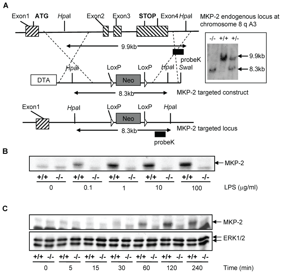 Generation of mice lacking DUSP4/MKP-2 gene by targeted homologous recombination.