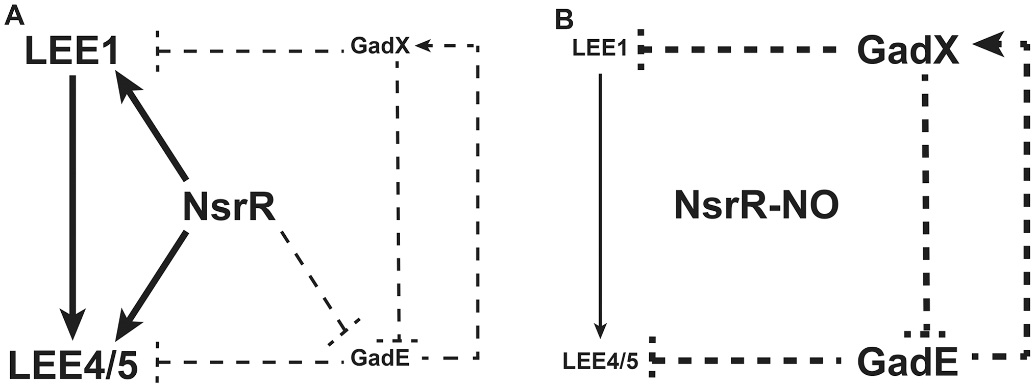 A model for the NO-dependent regulation of LEE1/4/5.