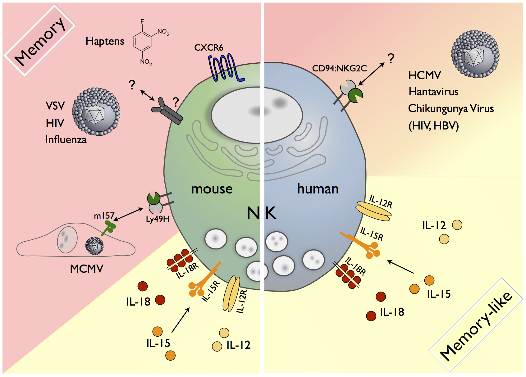 Memory and memory-like NK cells in mice and humans.