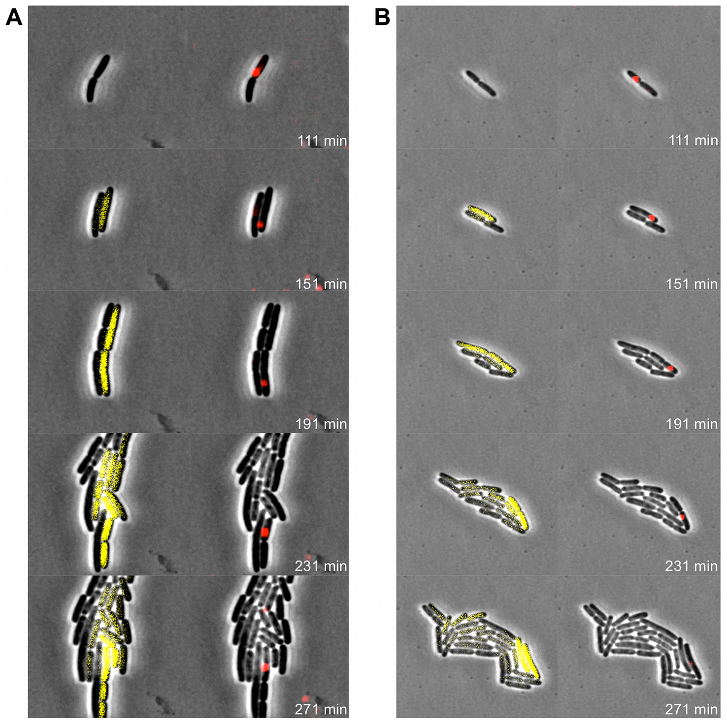 Pid expression is linked to phage carrier cells.