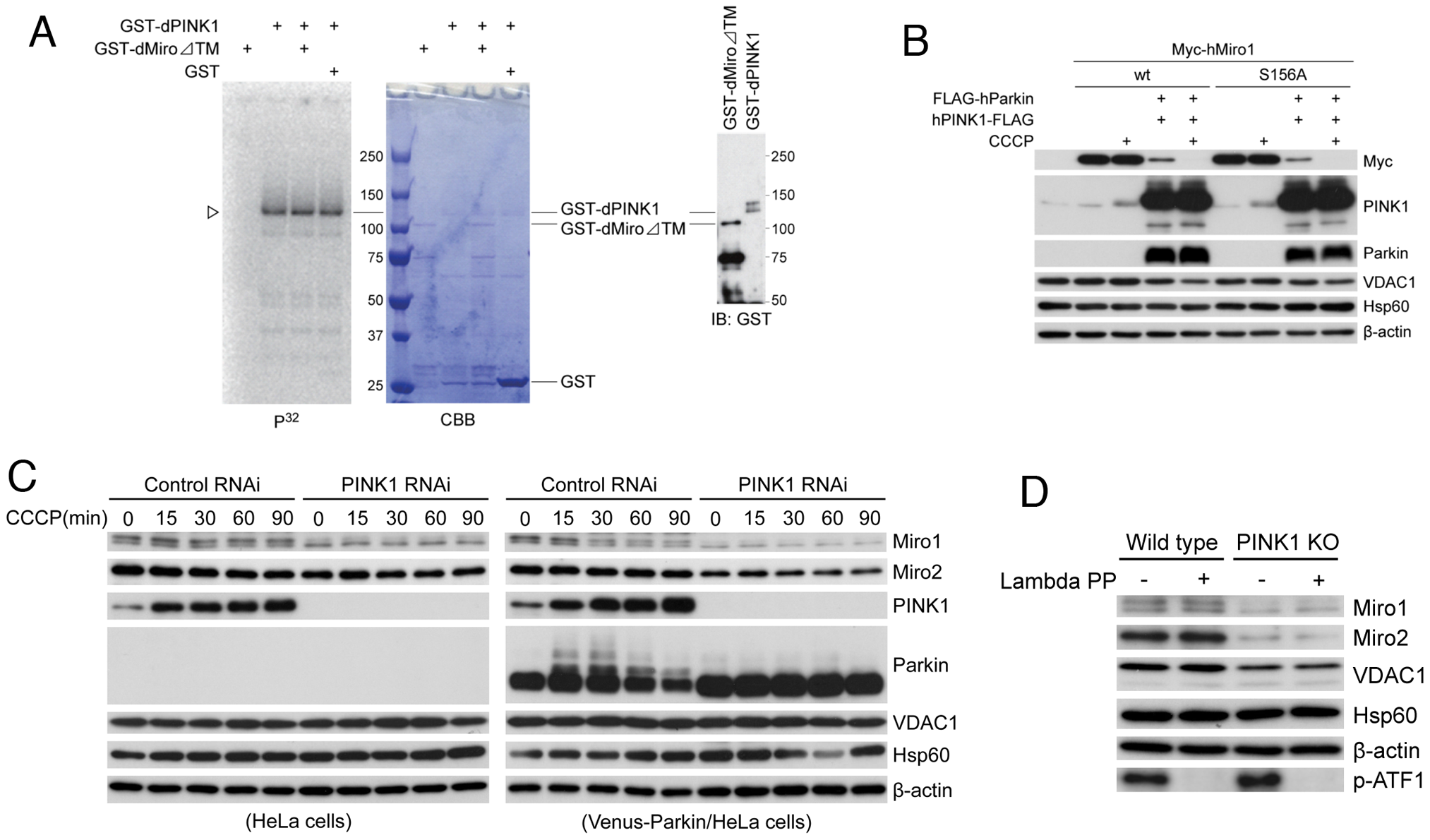 Effects of PINK1 loss of function on endogenous Miro protein level in mammalian cells and testing potential direct phosphorylation of Miro by PINK1.