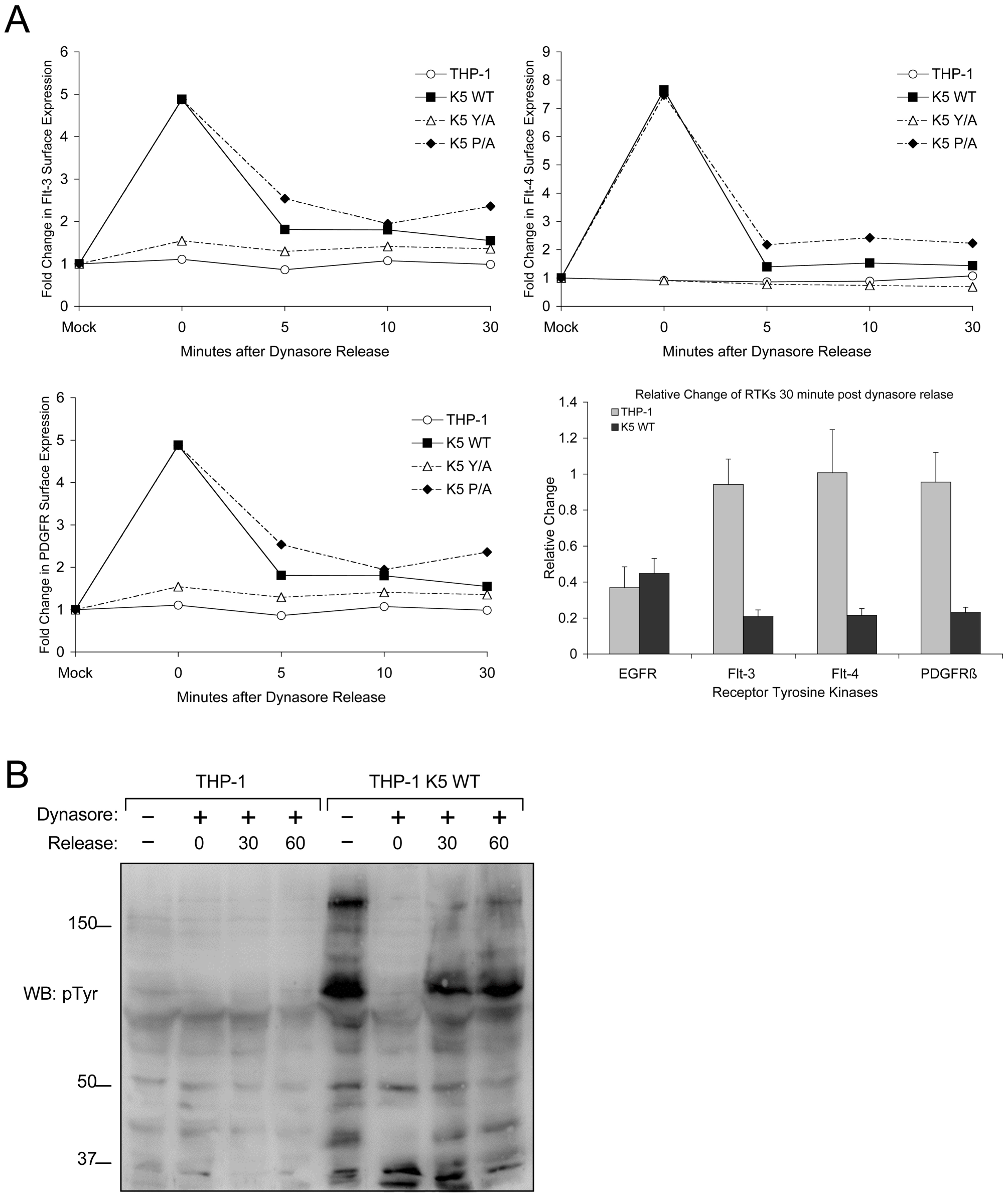 K5 mediates rapid internalization of RTKs from the surface leading to increased signaling.