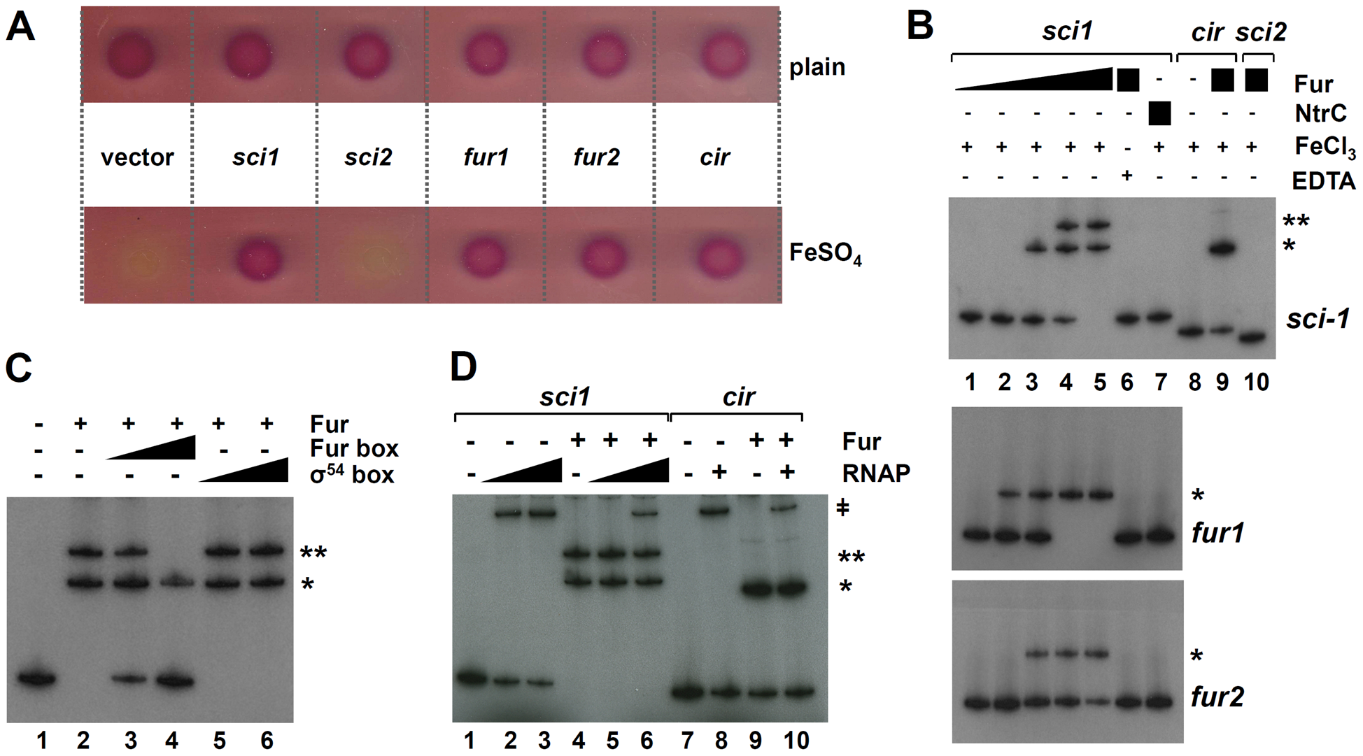 Fur binds to the EAEC <i>sci1</i> T6SS promoter <i>in vivo</i> and <i>in vitro.</i>