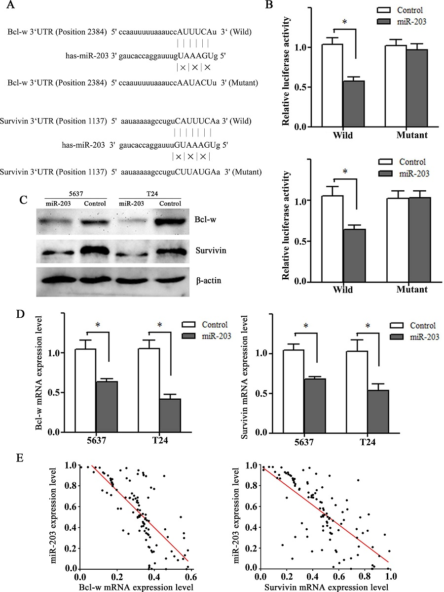 Bcl-w and Survivin are direct downstreamtargets of miR-203. (A) Illustration of the predicted miR-203 targeting sites in 3'UTR regions of Bcl-w and Survivin. (B) Dual-Luciferase activity assay was performed in HEK293T cells co-transfected with control/ miR-203 and pmiR-REPORT vectors with wildtype/mutant 30-UTR of Bcl-w (above) and Survivin (below). *P<0.01, t test, n = 6. (C) Western blots showing downregulation of Bcl-w and Survivin proteins after transfection of miR-203 mimics in 5637 and T24 cell lines. β-actin was used as a control. (D) RT-qPCR showing downregulation of Bcl-w and Survivin mRNAs after transfection of miR-203 mimics in 5637 and T24 cell lines. *P<0.01, t test, n = 6. (E) Spearman's correlation analysis showing a significant inverse association between miR-203 and Bcl-w mRNA or Survivin mRNA expression in bladder cancer tissues(r = -0.781, -0.740, both at P<0.001).