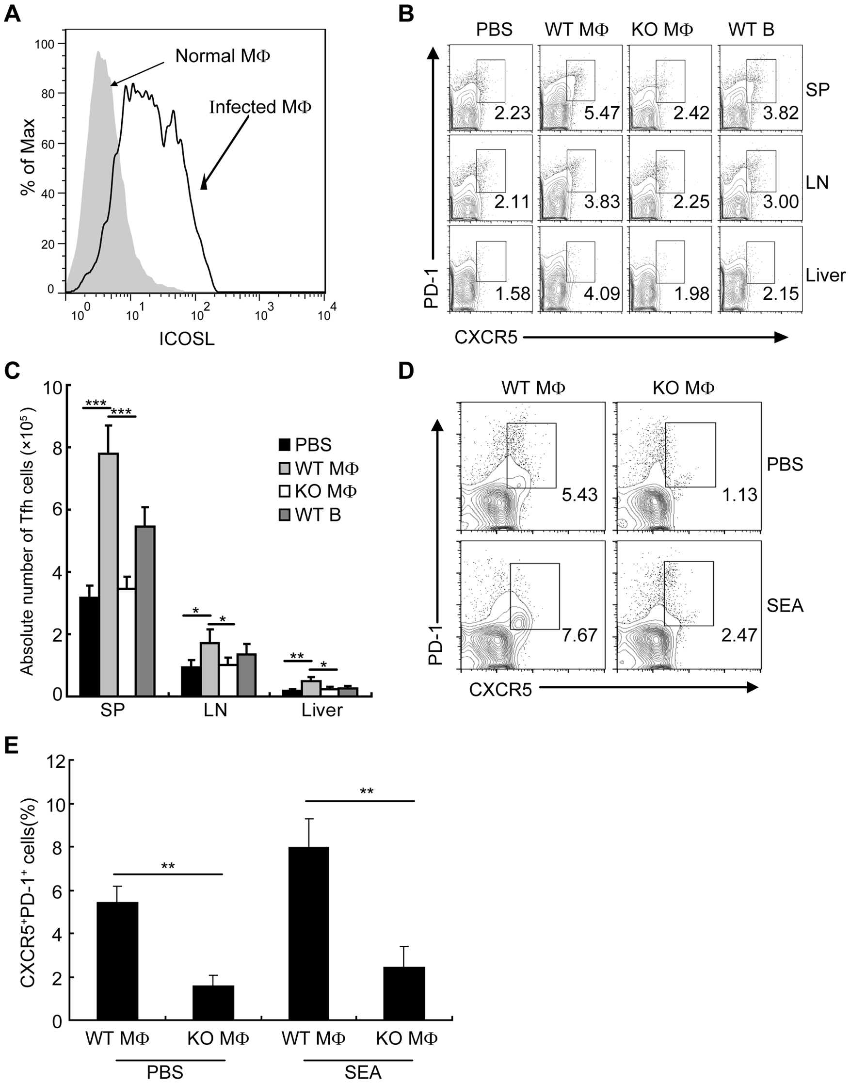 Macrophages drive Tfh-cell development dependent on ICOSL signaling.