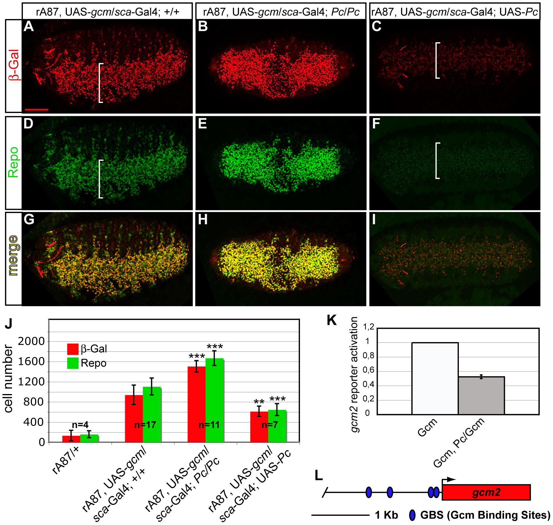 <i>Pc</i> inhibits <i>gcm</i> autoregulation and glial differentiation.