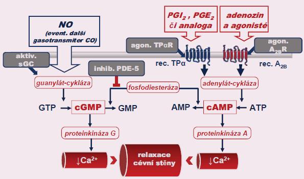 Mechanizmus účinku farmakologických postupů k léčbě erektilní dysfunkce postavené na zvýšení nabídky cyklických nukleotidů – cGMP a cAMP. Bližší popis, stejně jako vysvětlivky zkratek, v textu.