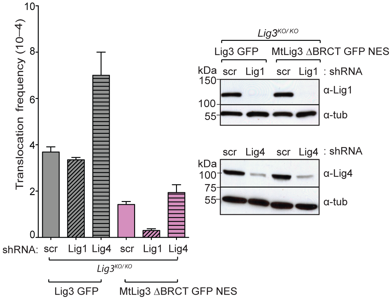 Lig1, but not Lig4, is a backup DNA ligase for translocation formation.