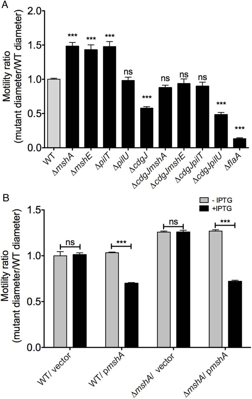 Mutations in <i>mshA</i>, <i>mshE</i>, and <i>pilT</i> increase motility.