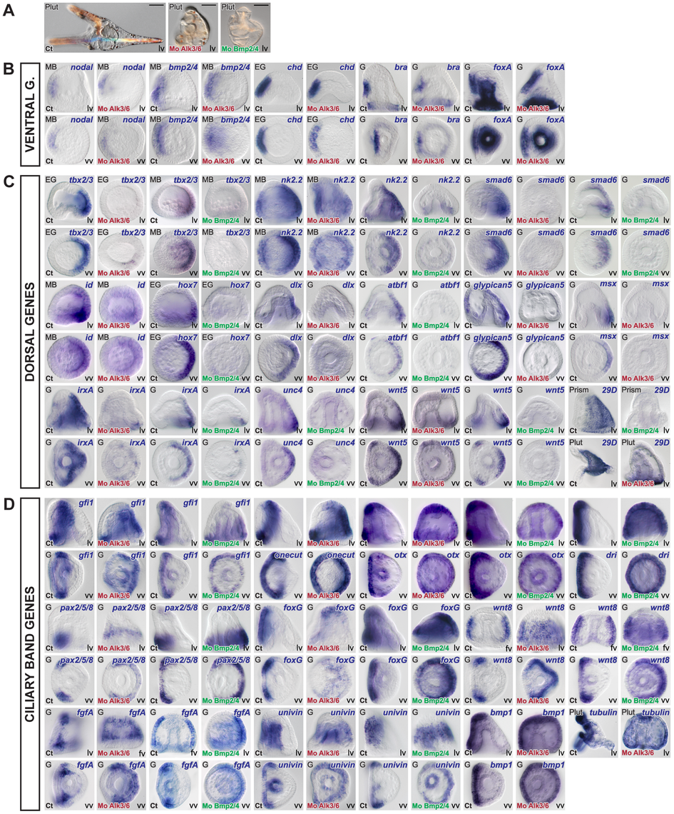 Blocking BMP2/4 or Alk3/6 signaling strongly downregulates the expression of dorsal genes and causes massive ectopic expression of ciliary band marker genes on the dorsal side.