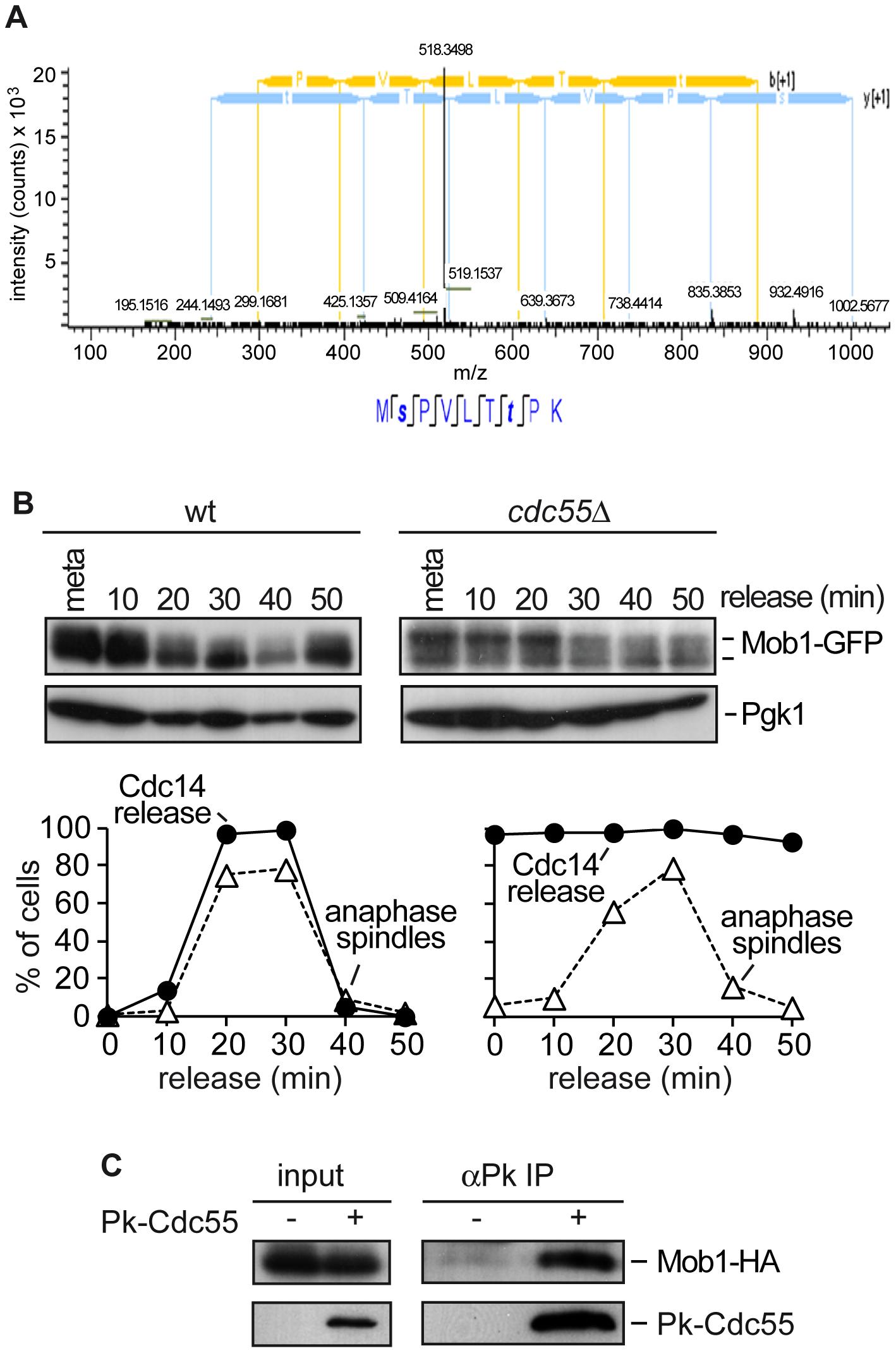 PP2A<sup>Cdc55</sup> regulates Mob1 phosphorylation.