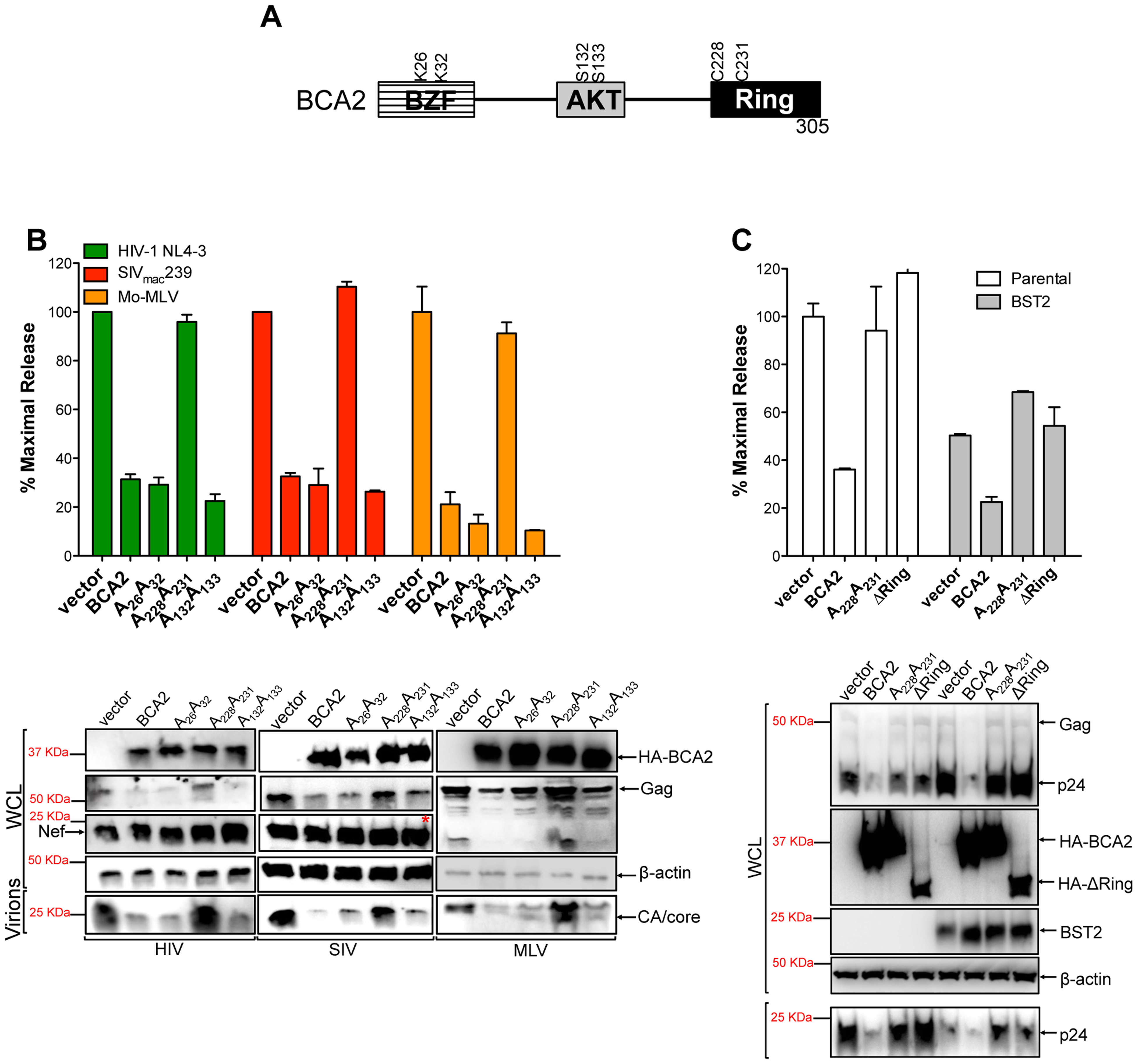 The E3 ligase activity of BCA2 is required for antiviral activity.