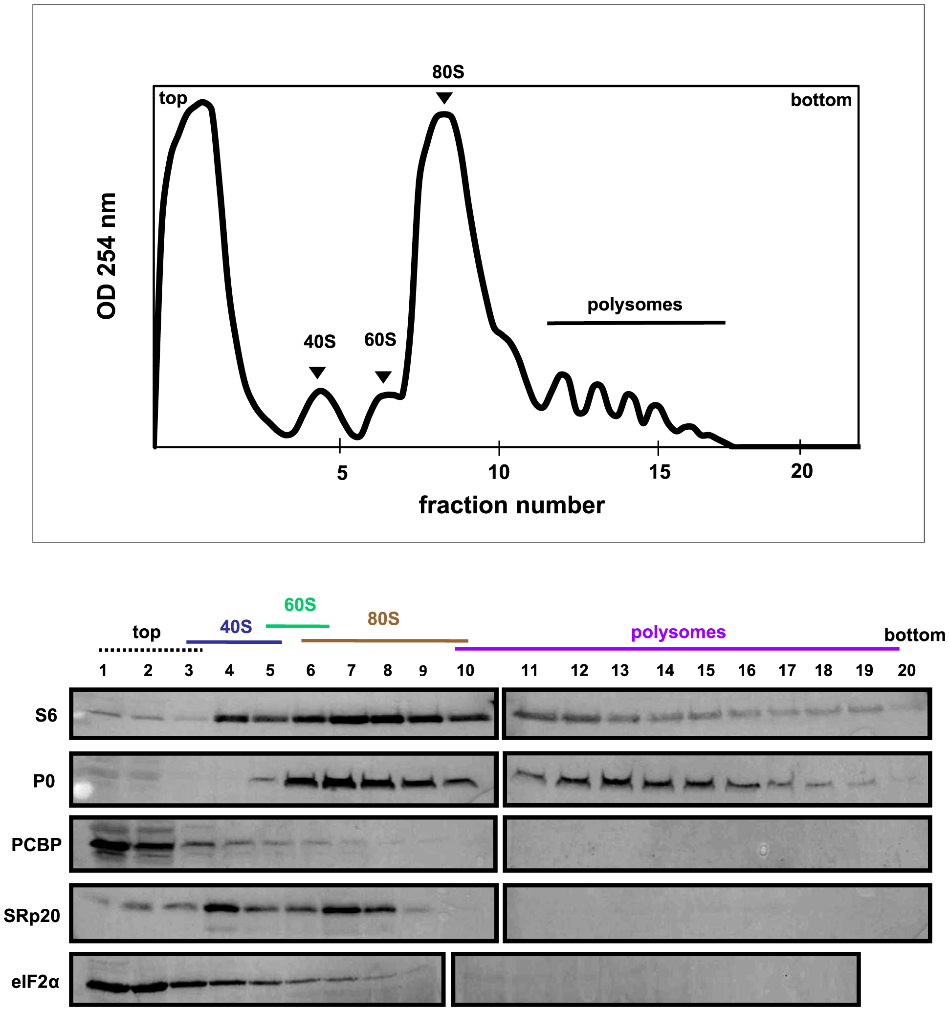 SRp20 and PCBP2 co-sedimentation with 40S ribosomal subunits in poliovirus-infected cells (2 hr post-infection).