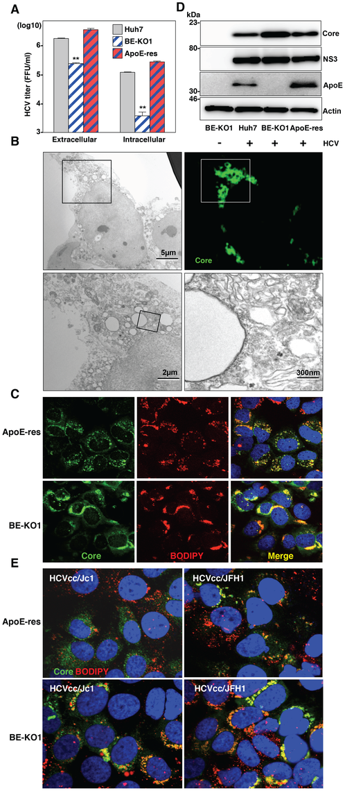 Accumulation of core proteins around lipid droplets in BE-KO1 cells.