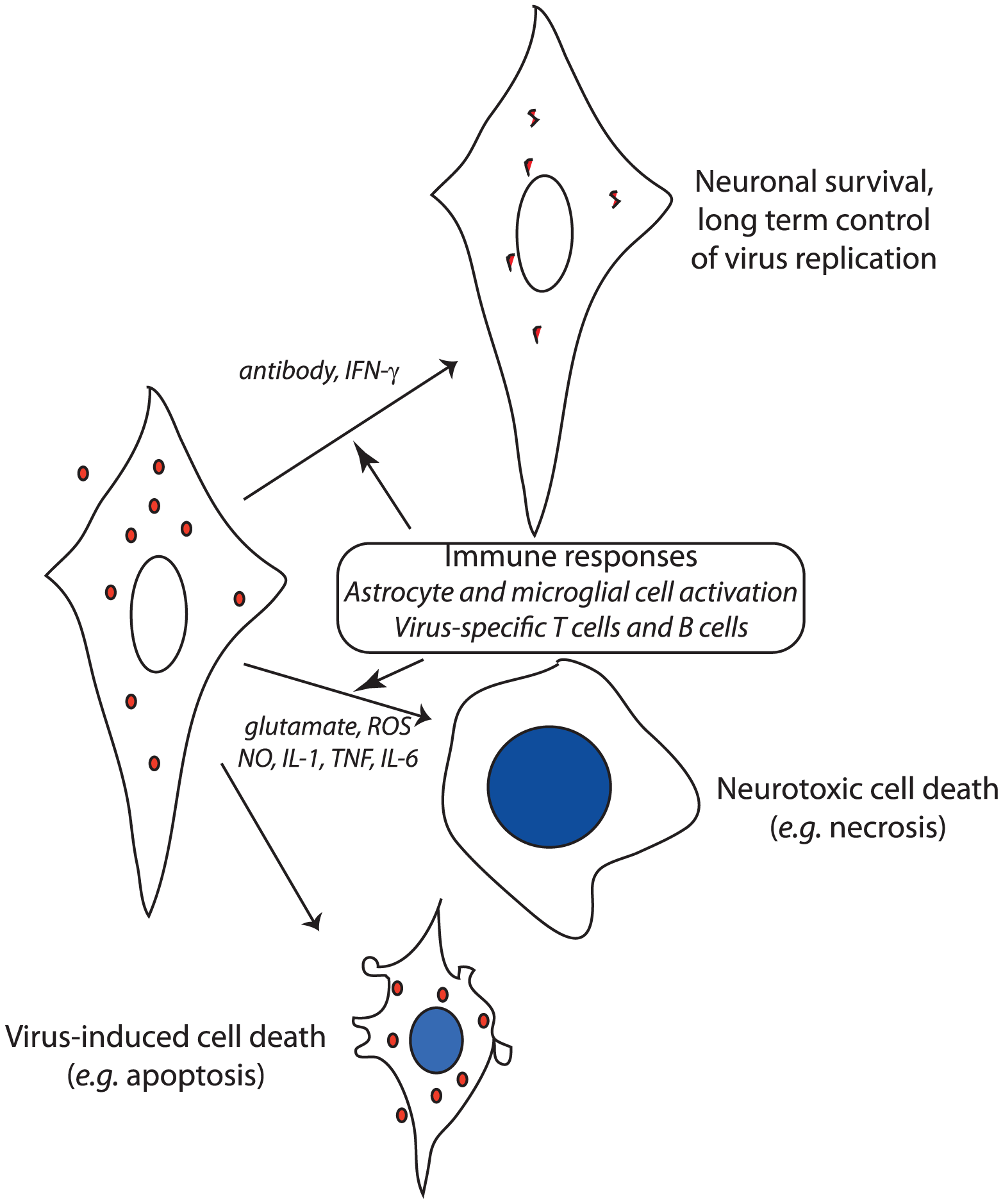 Schematic diagram of the potential outcomes after virus infection of neurons.